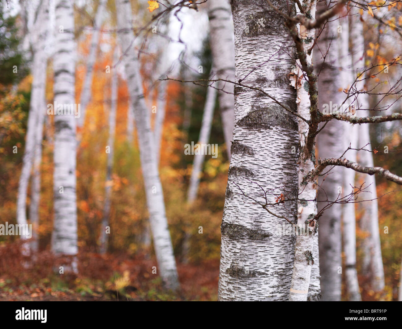 Fall nature scenery of birch trees with colorful yellow leaves in a forest. Arrowhead Provincial Park, Ontario, - Stock Image