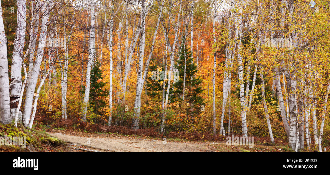 Panoramic fall nature scenery of birch trees with colorful yellow leaves in a forest. Arrowhead Provincial Park, - Stock Image