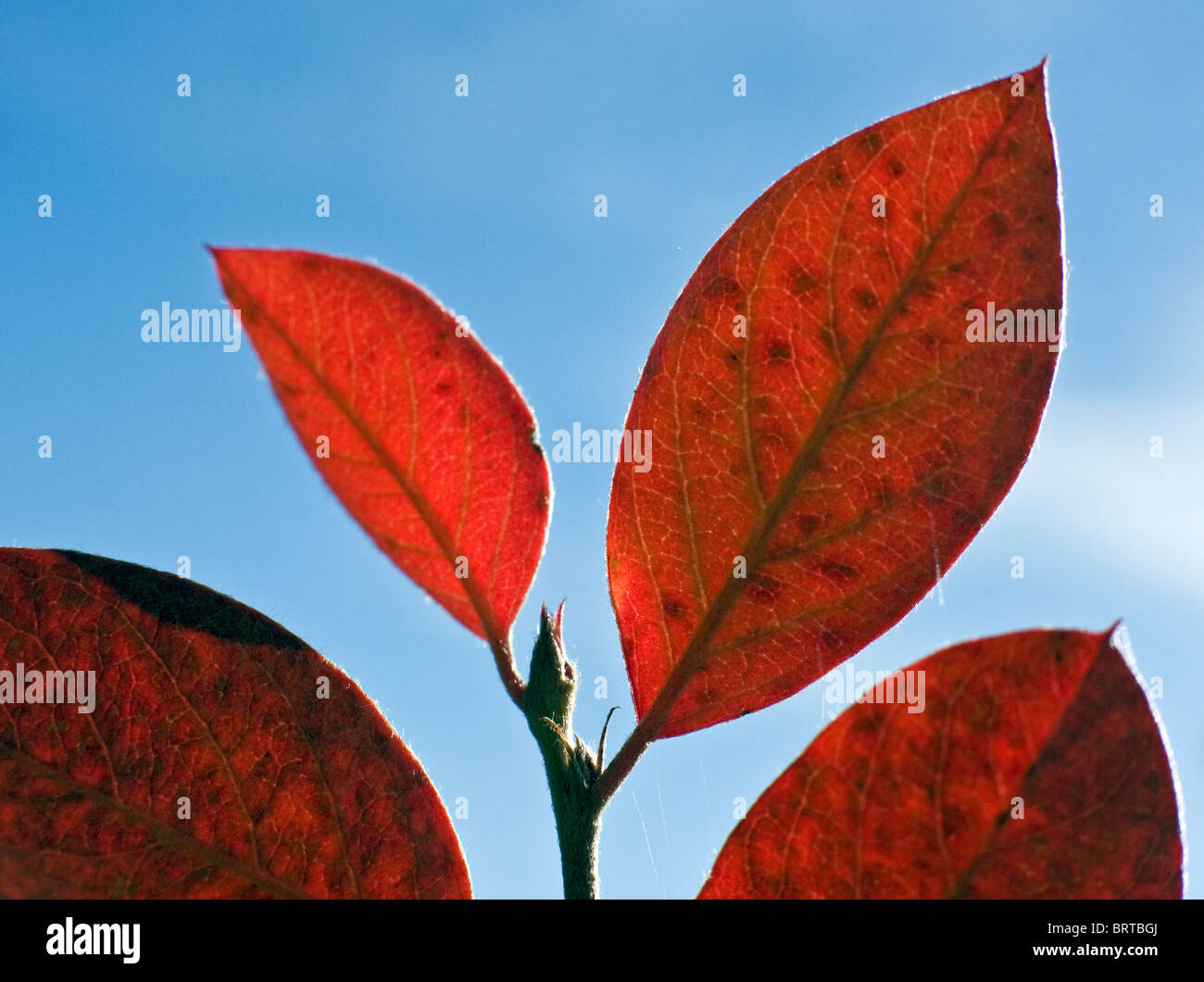 Autumn colored leaves of ivy in Gauja National Park Latvia - Stock Image