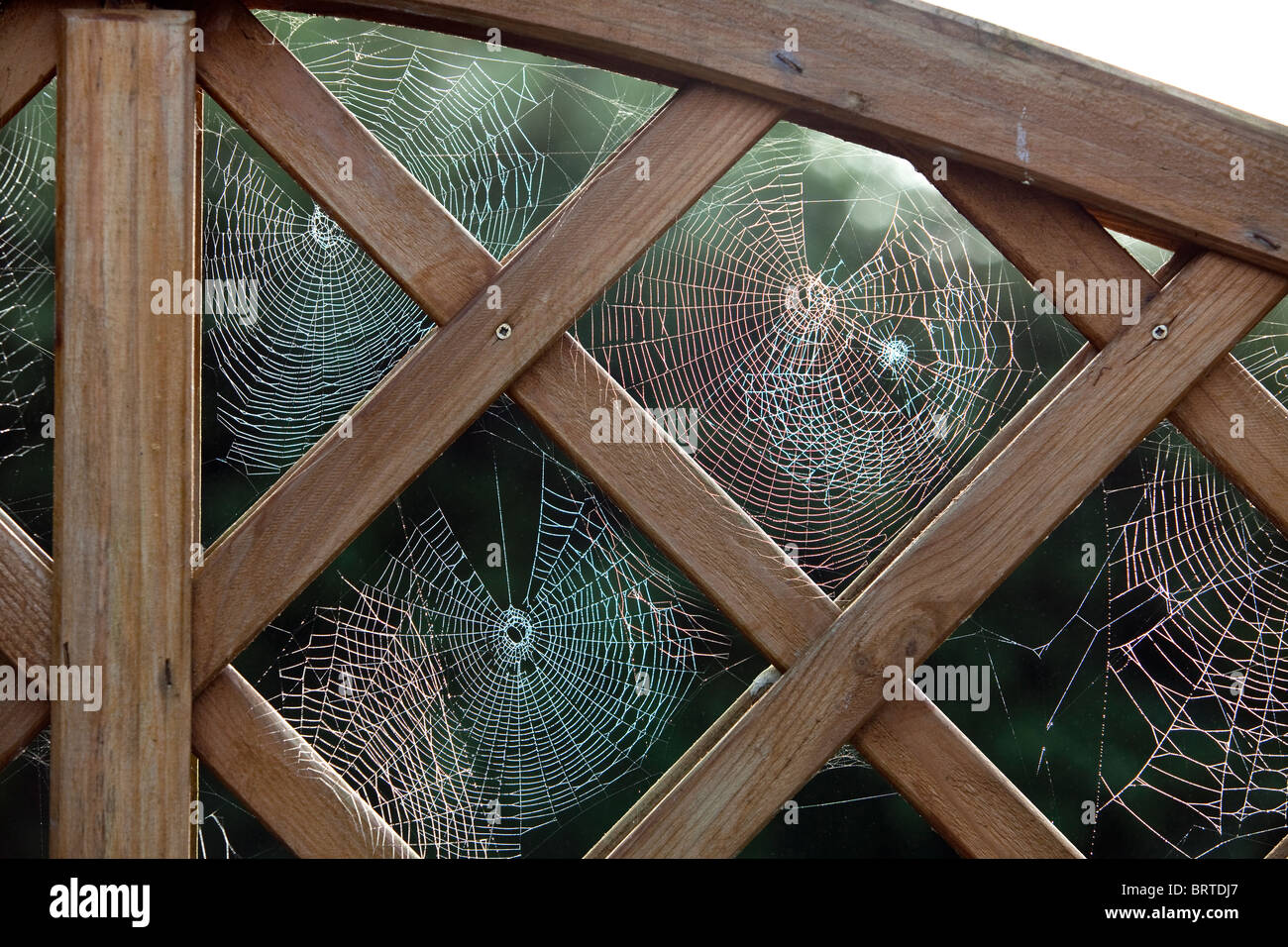 Siders cobwebs in the framework of a wooden garden fence. - Stock Image