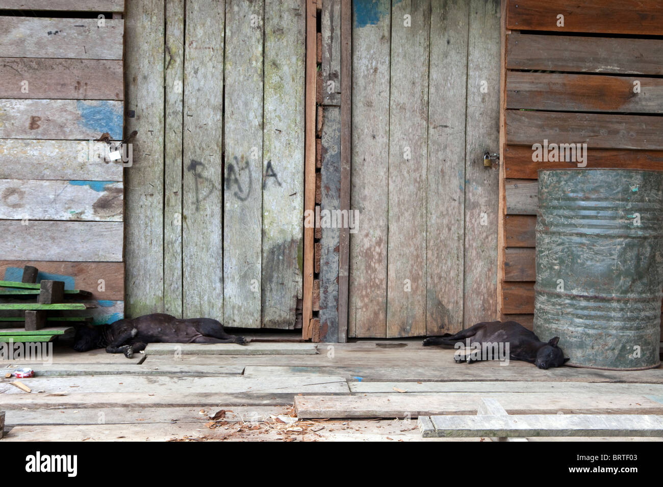 Sleeping dogs are seen outside a house in a Penan Village near Mulu National Park in Borneo, Malaysia - Stock Image