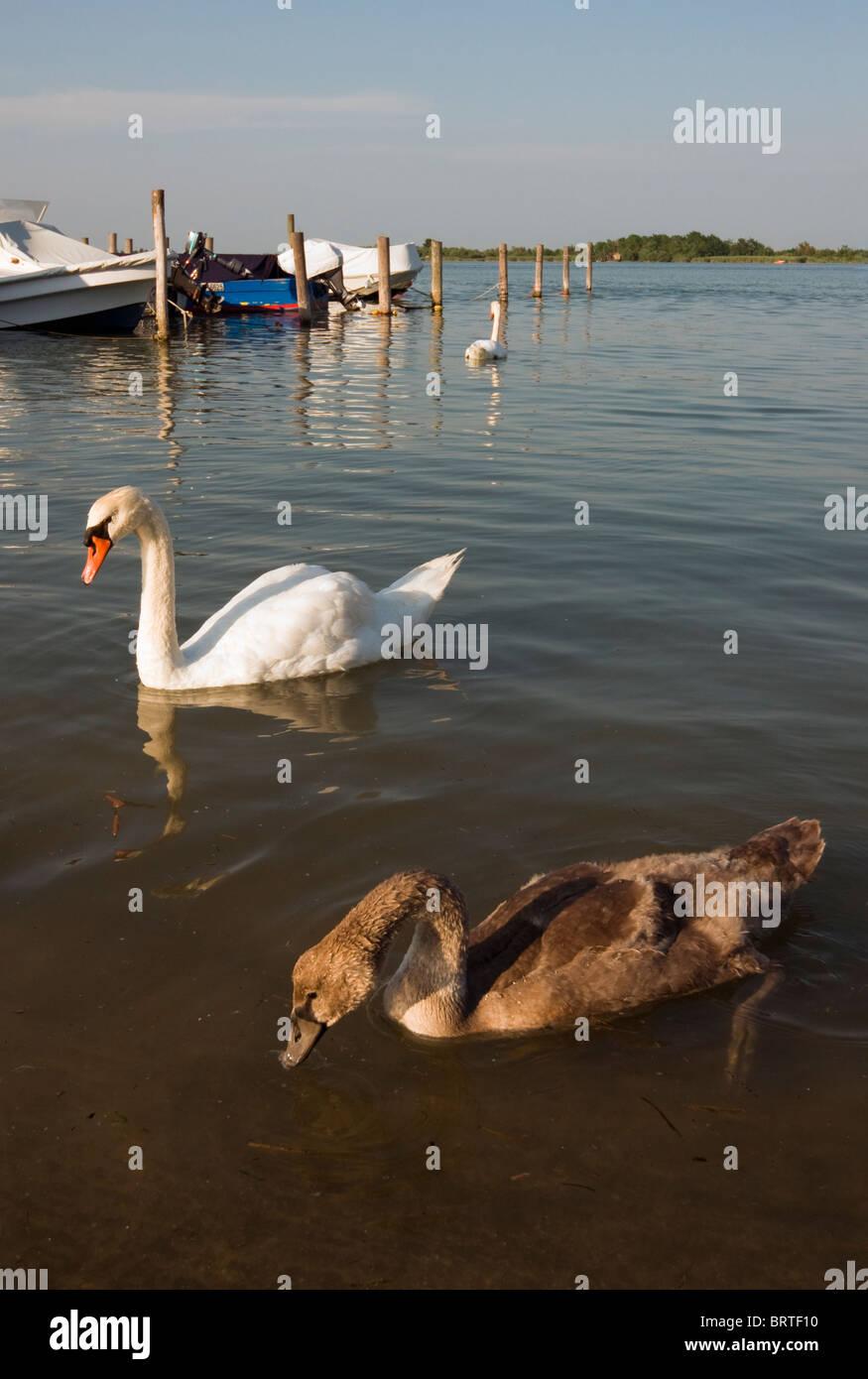 Mute Swans (Cygnus olor) - Adult and Juvenile (with Brown Plumage) in Laguna di Caorle (Caorle Lagoon), Veneto, - Stock Image