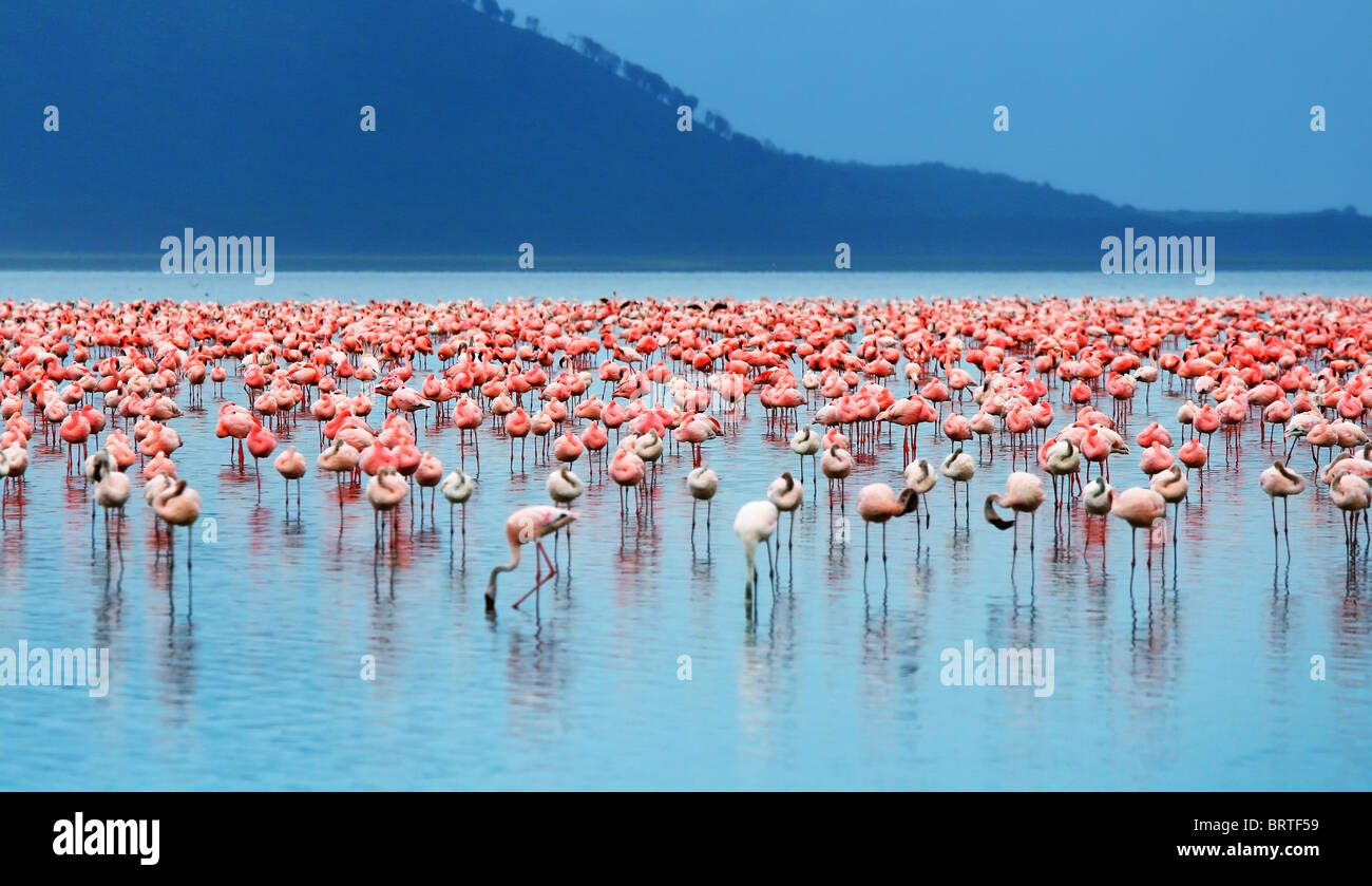 African safari, flamingos in the lake Nakuru, Kenya - Stock Image
