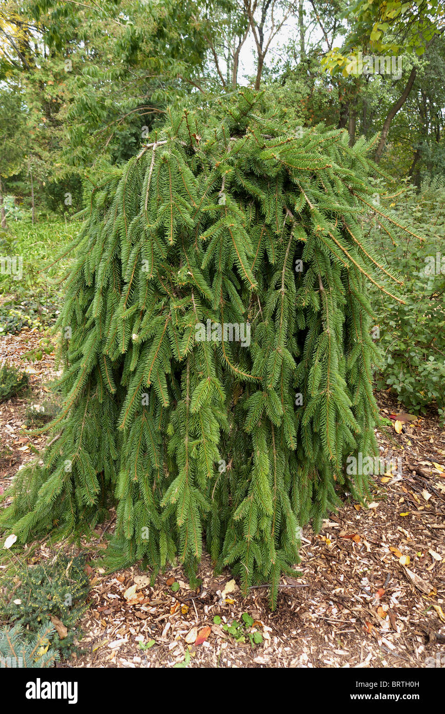 A Weeping Norway Spruce Picea Abies Pendula In Edwards Gardens