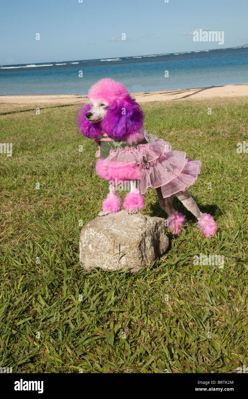 Purple and pink poodle groomed and posed standing on a rock. - Stock Image