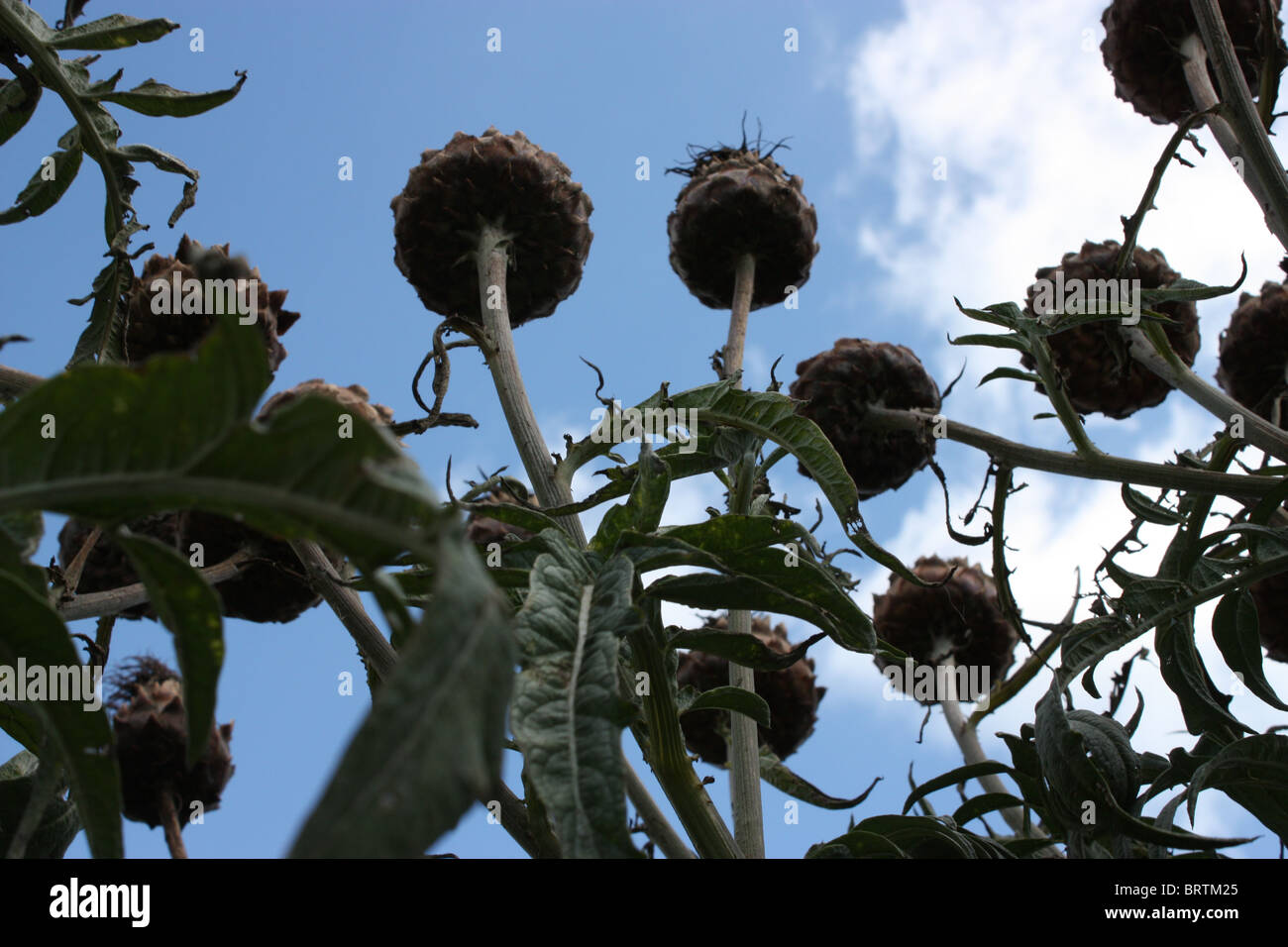 giant thistles, towering - Stock Image