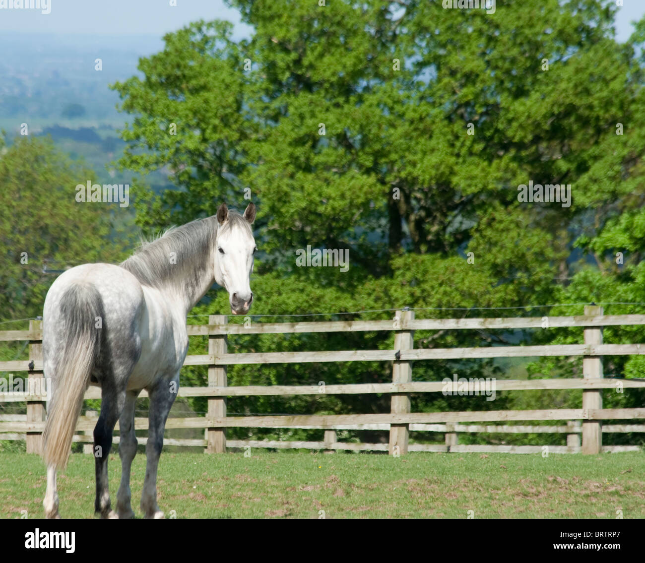 Beautiful dapple gray horse looks back at camera whilst standing in field in English countryside on summers day - Stock Image