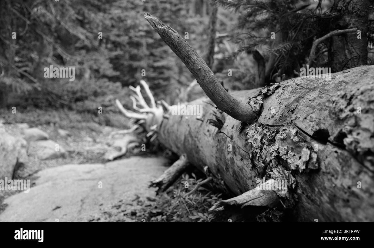 Fallen tree, Estes Park, Rocky Mountains, Colorado - Stock Image