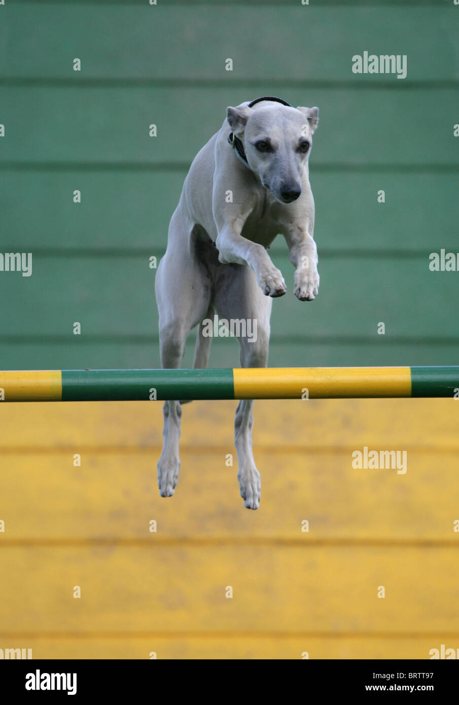 Whippet Single adult jumping on agility course UK - Stock Image