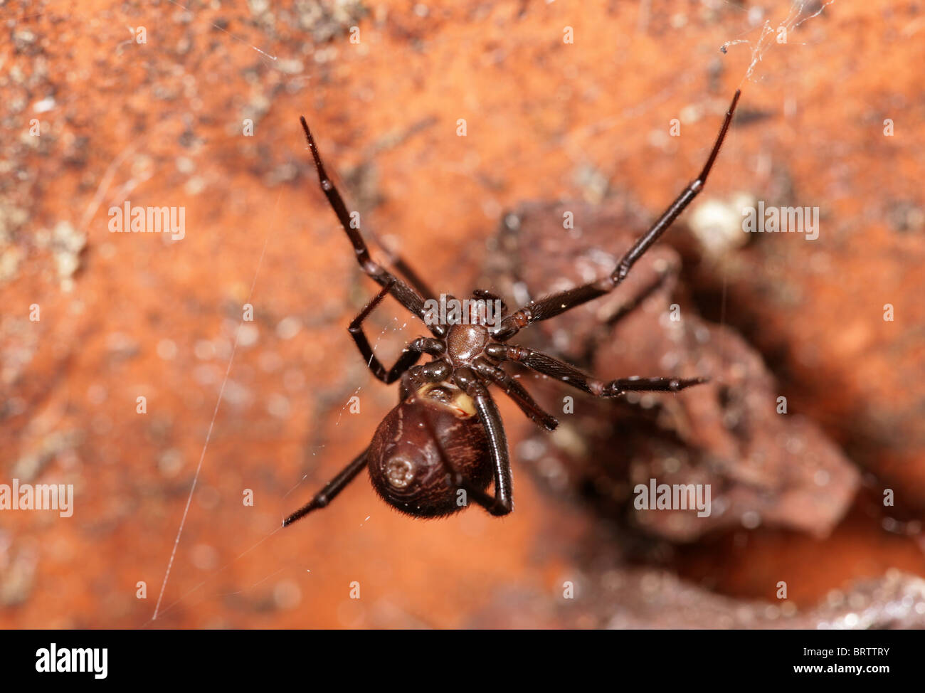 False Widow Spider Stock Photos False Widow Spider Stock