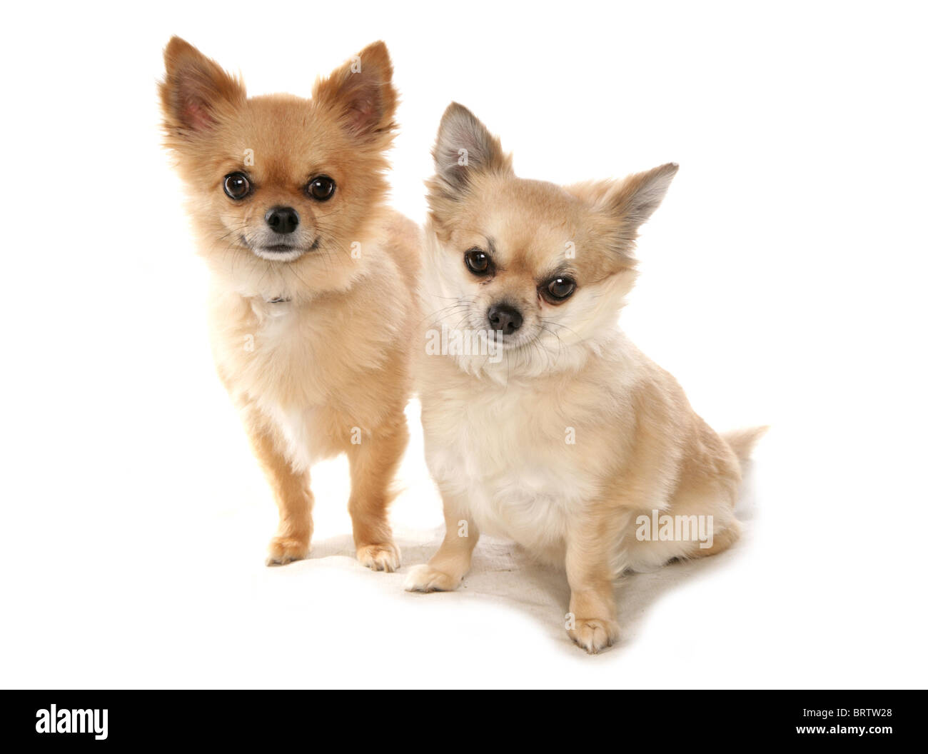 Chihuahua Two adults sitting in studio UK - Stock Image