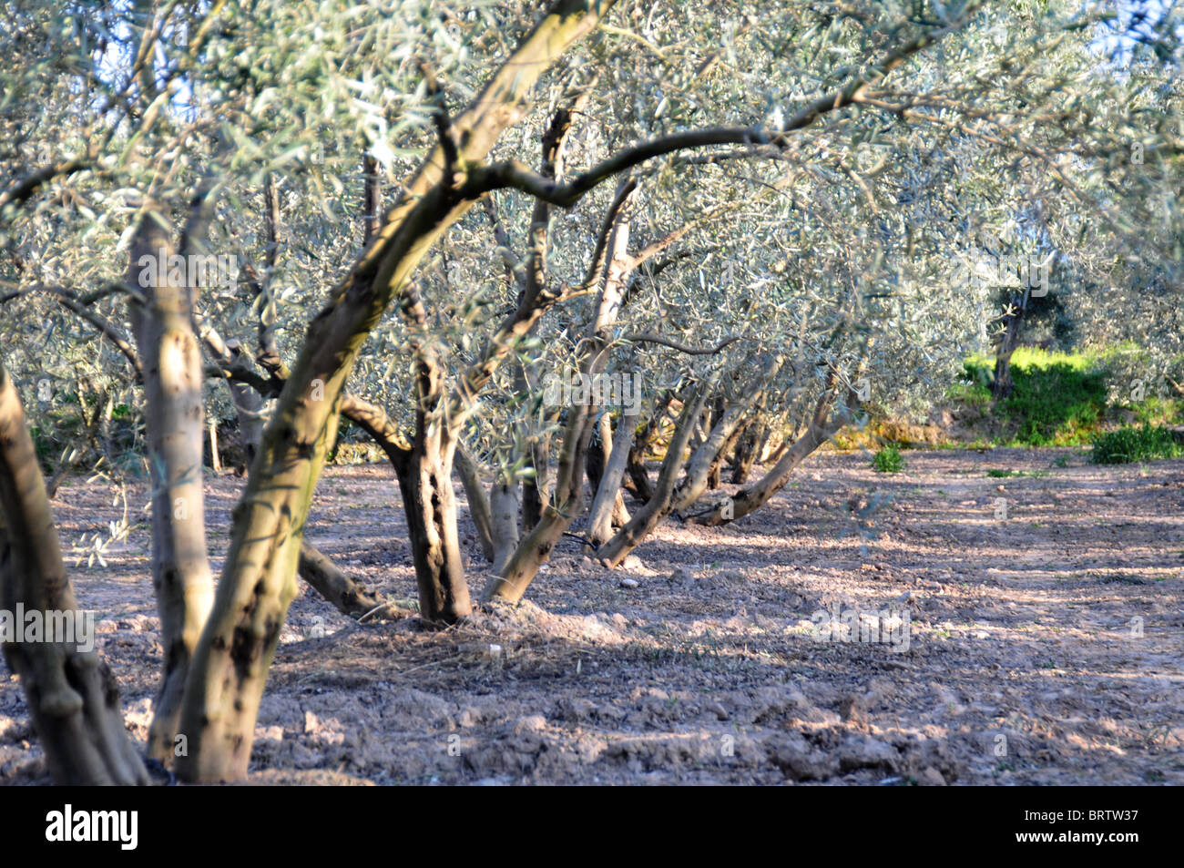 Olive Trees,Orchard,Olive Grove,Branches, Tree Trunks Tree shapes Dappled Light Forestry Crops line of trees tree - Stock Image