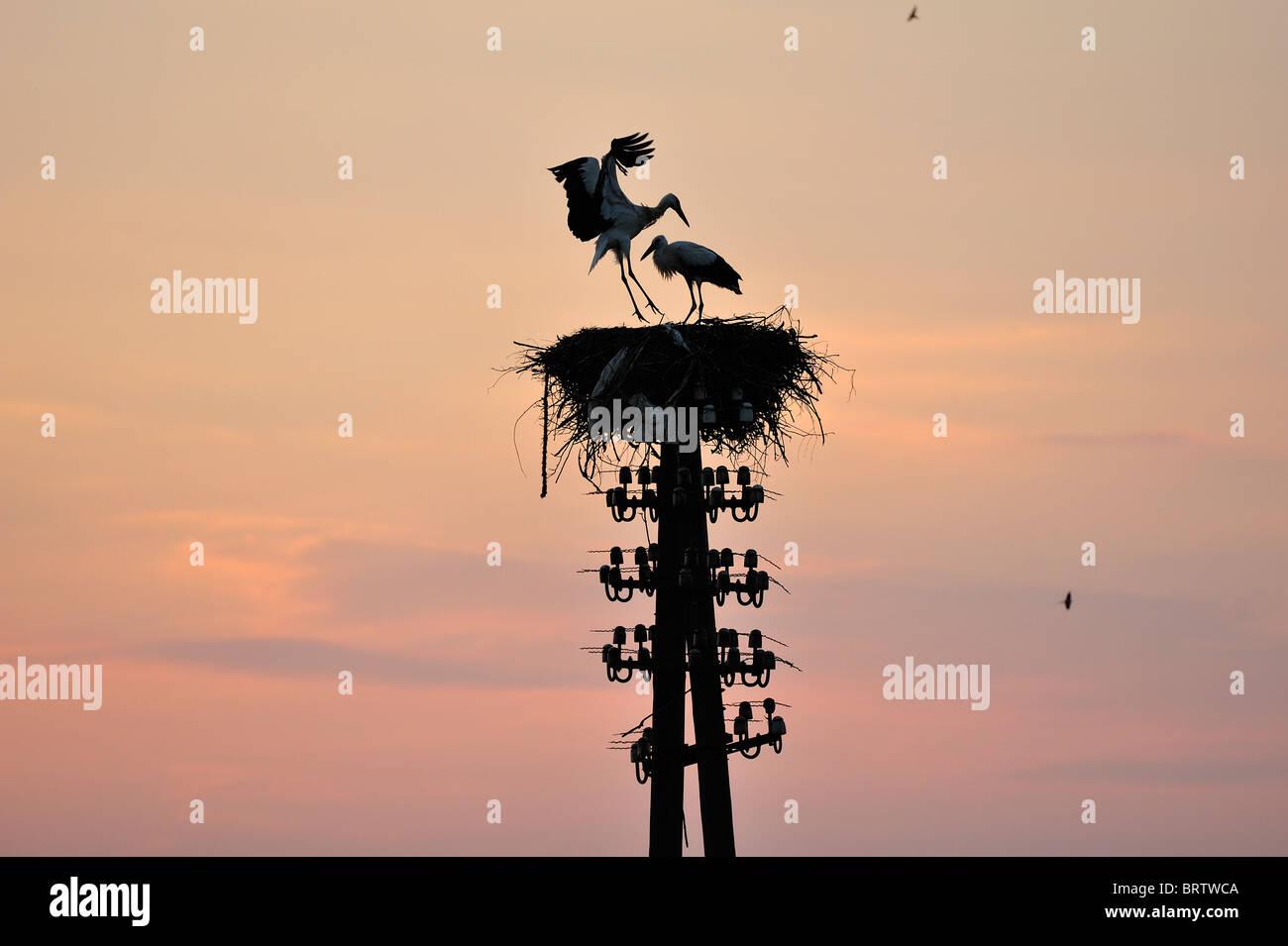 Storks stork in the Biebrza River Reservation in Podlasie Region, Poland Stock Photo