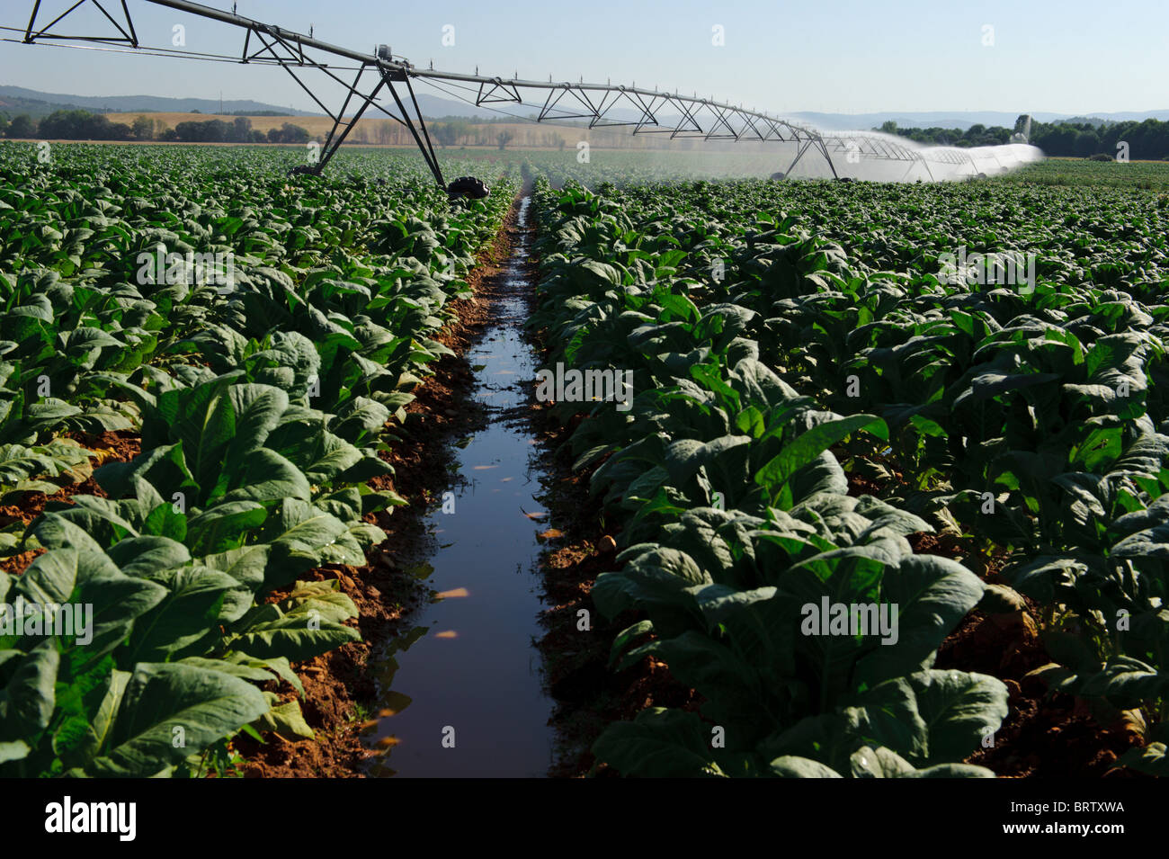 Pivot irrigation system in a tobacco field - Stock Image