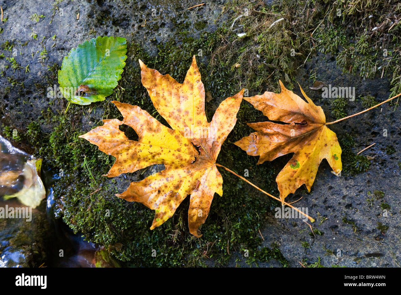 Bigtooth maple leaves in the Cascade Mountains in Oregon Stock Photo