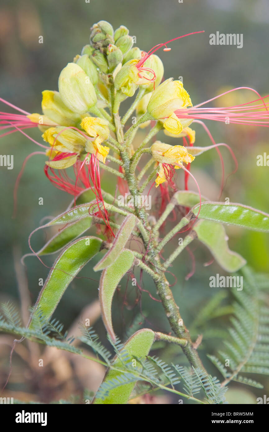 Caesalpinia gilliesii or the Bird of Paradise in flower with developing seed pods - Stock Image