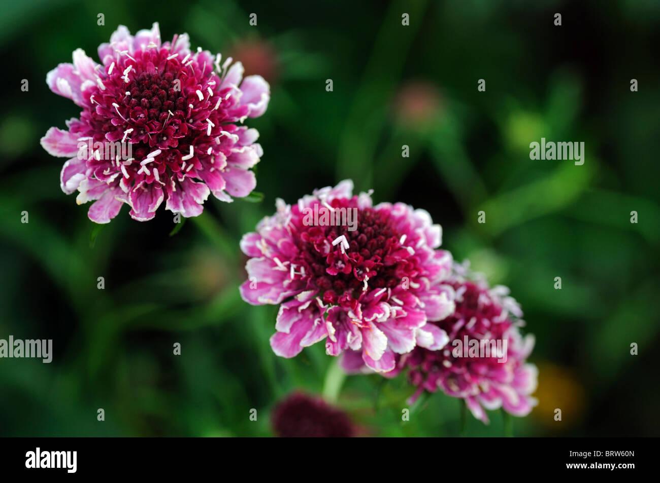 Scabiosa Burgundy Bonnets Bonnet Pincushion Flower Form Of Stock
