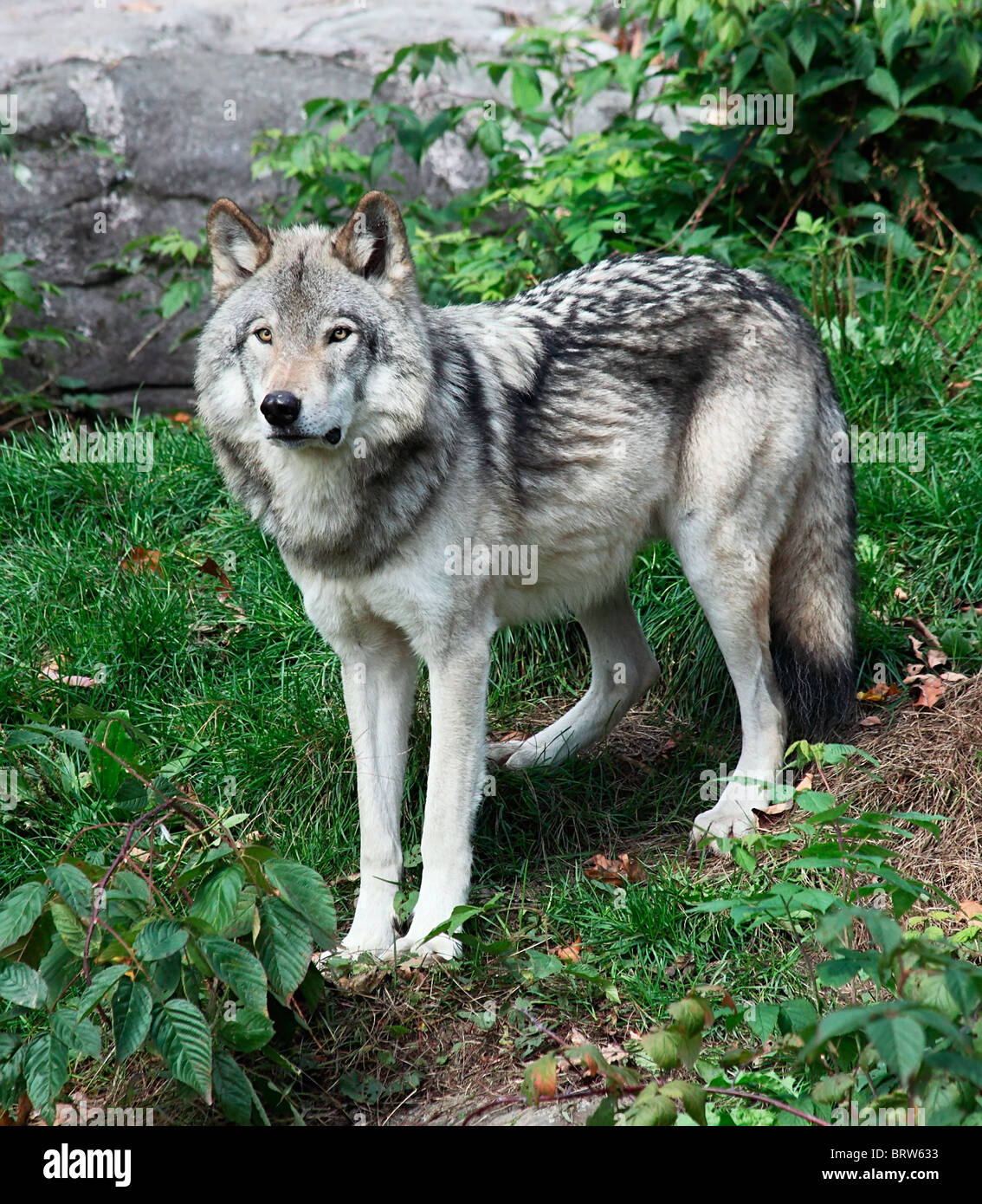 A gray wolf is standing and looking ahead - Stock Image