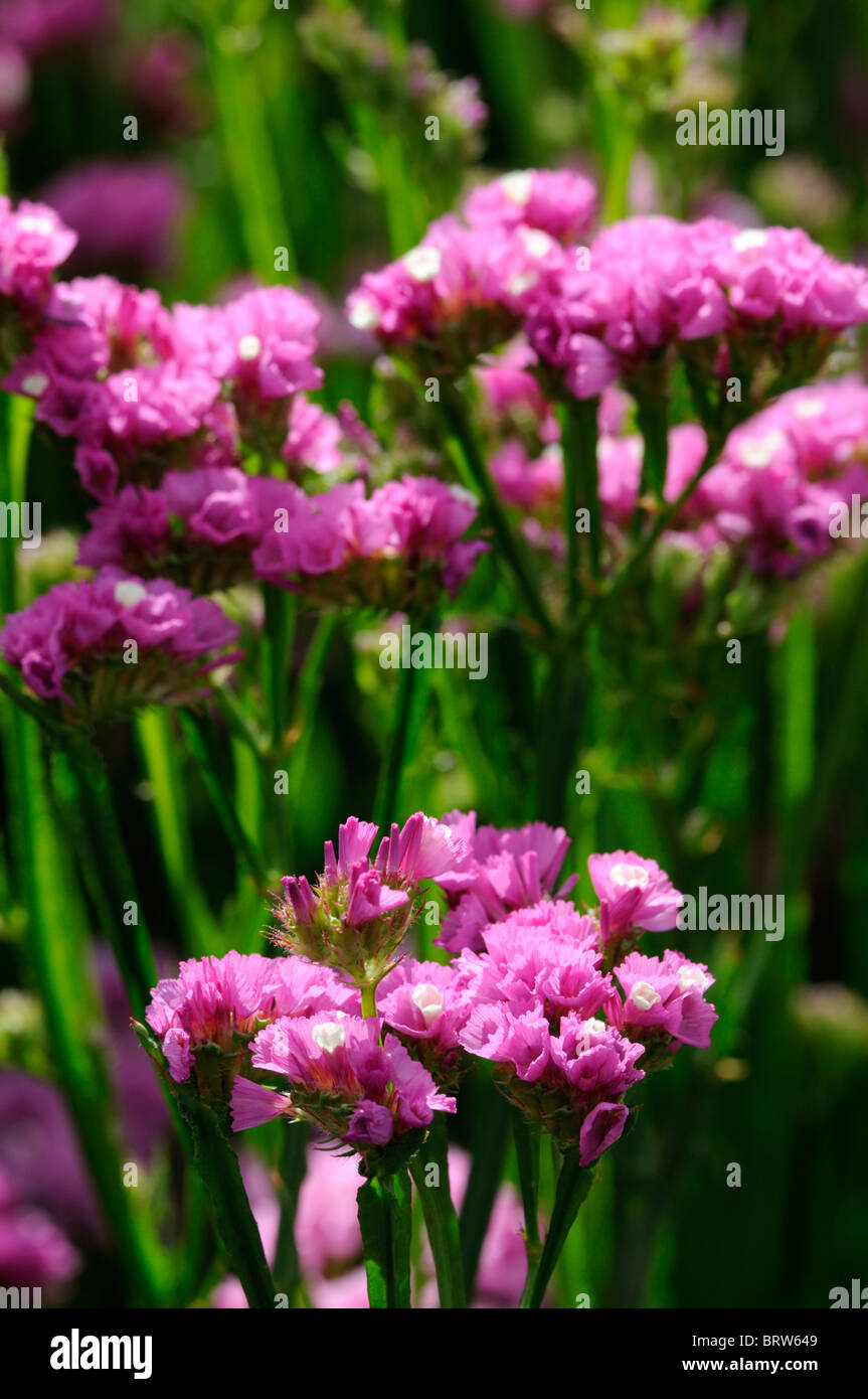 Statice Limonium Flowers Stock Photos Statice Limonium Flowers