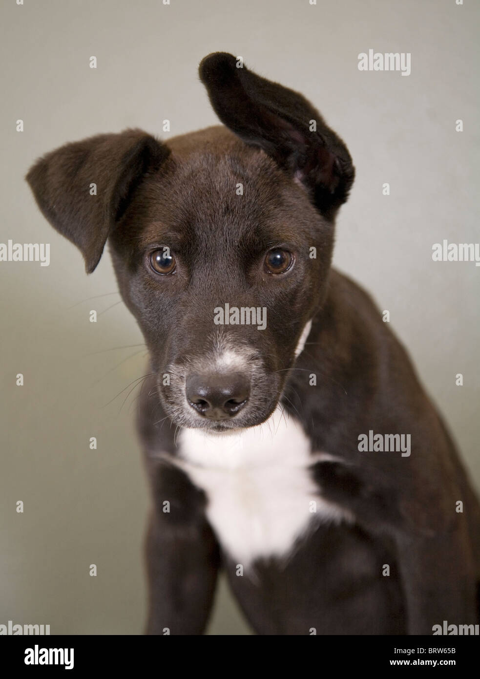 A cute, flop-eared dog at a humane society facility that is up for adoption. - Stock Image
