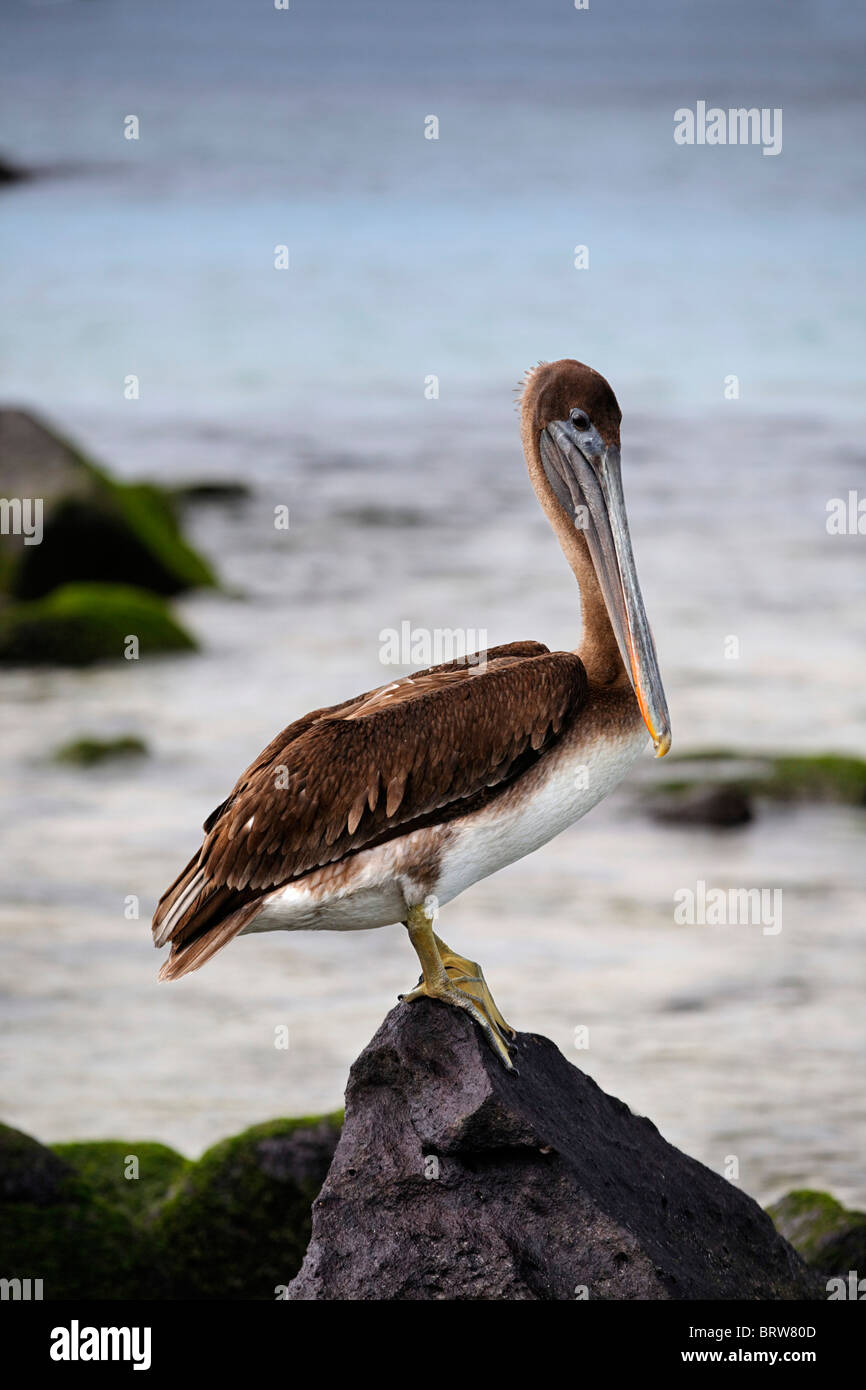 Brown Pelican (Pelicanus occidentalis) perched on small rock at the sea, Espanola, Hood Island, Galapagos archipelago - Stock Image