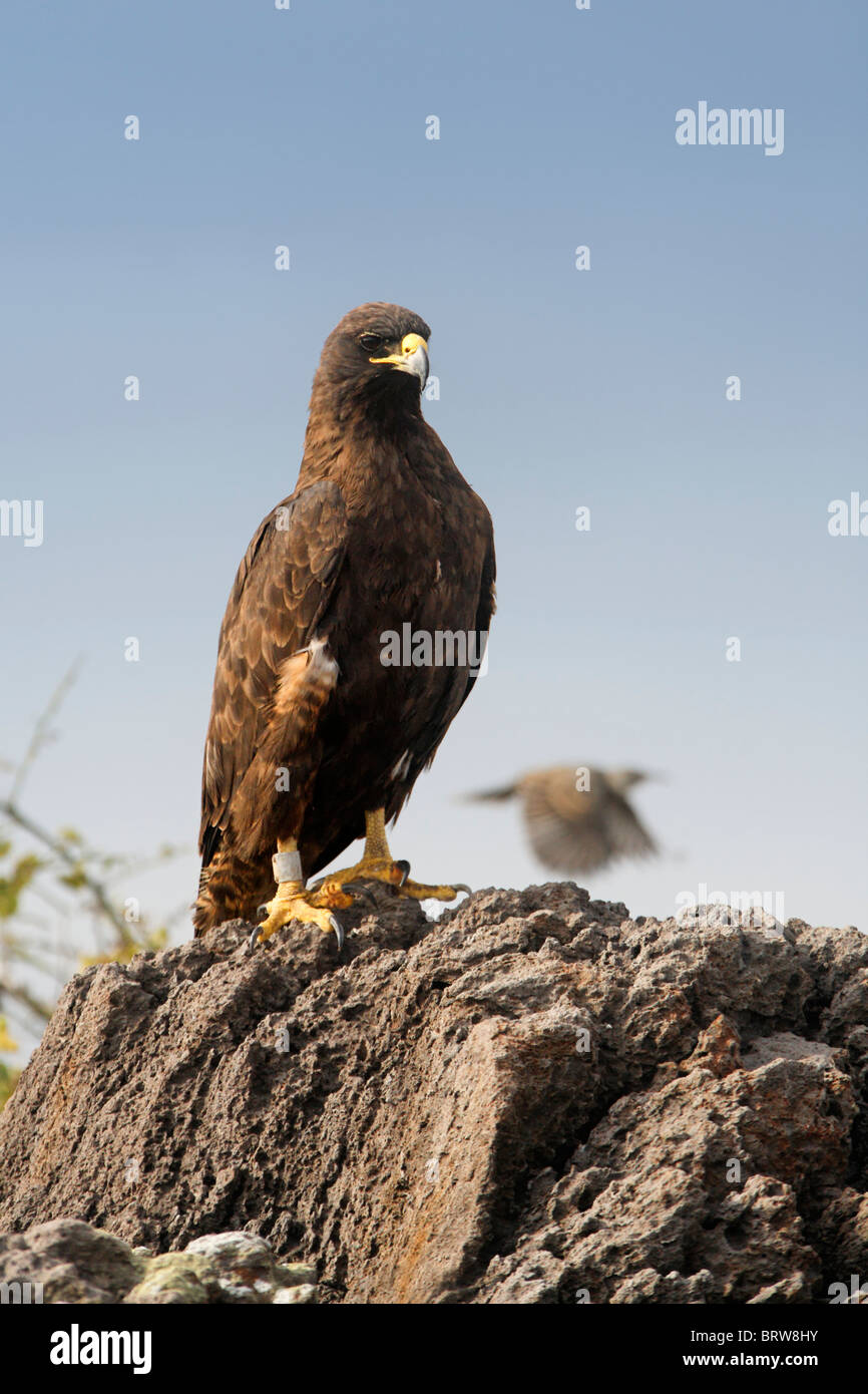Galapgos Hawk (Buteo galapgensis) perched on rock, Espanola, Hood Island, Galapagos archipelago, Unesco World Heritage - Stock Image
