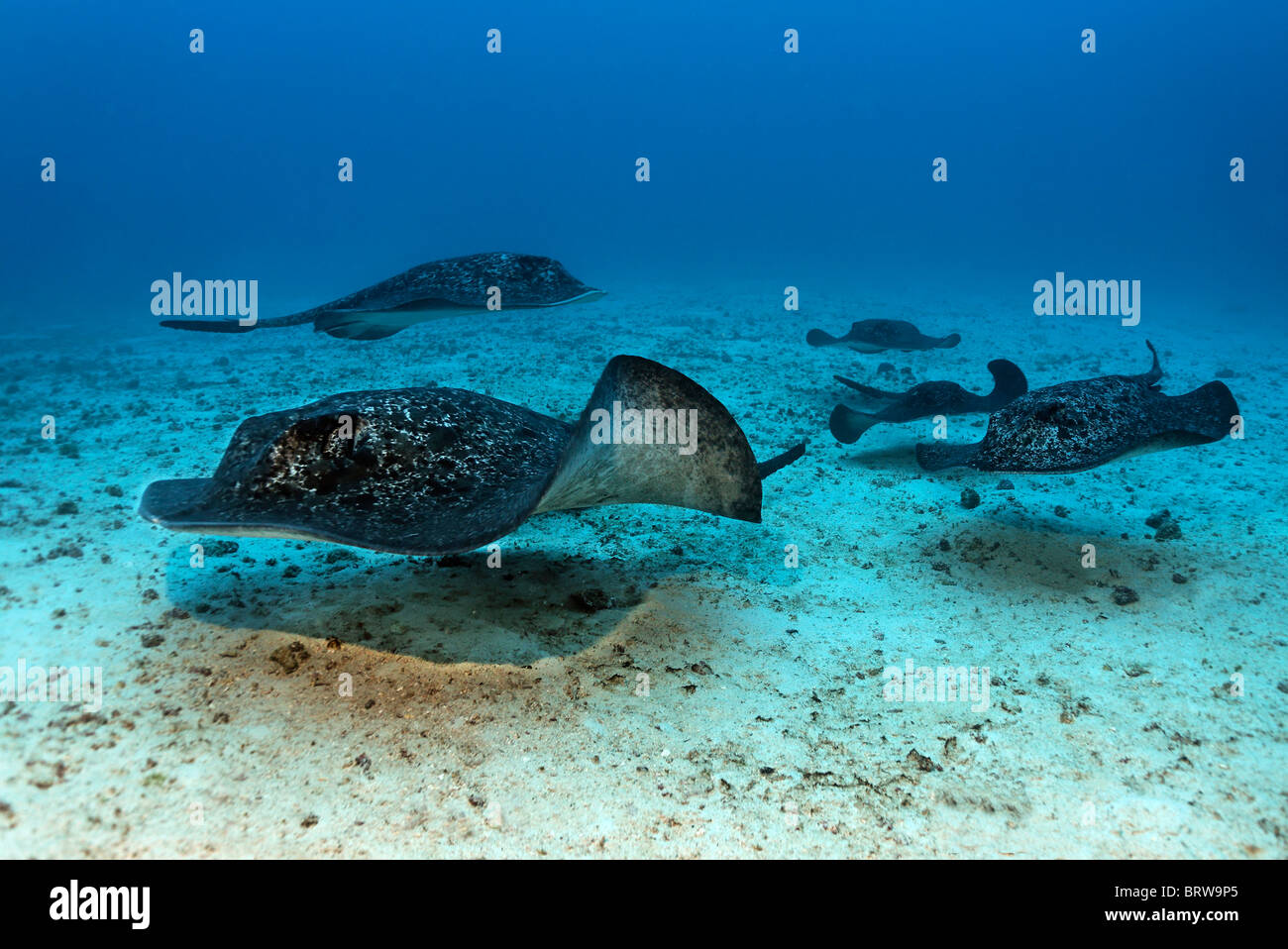 Shoal of Blackspotted Stingrays (Taeniura meyeni) gliding over sand bottom, Cocos Island, Costa Rica, Central America, - Stock Image