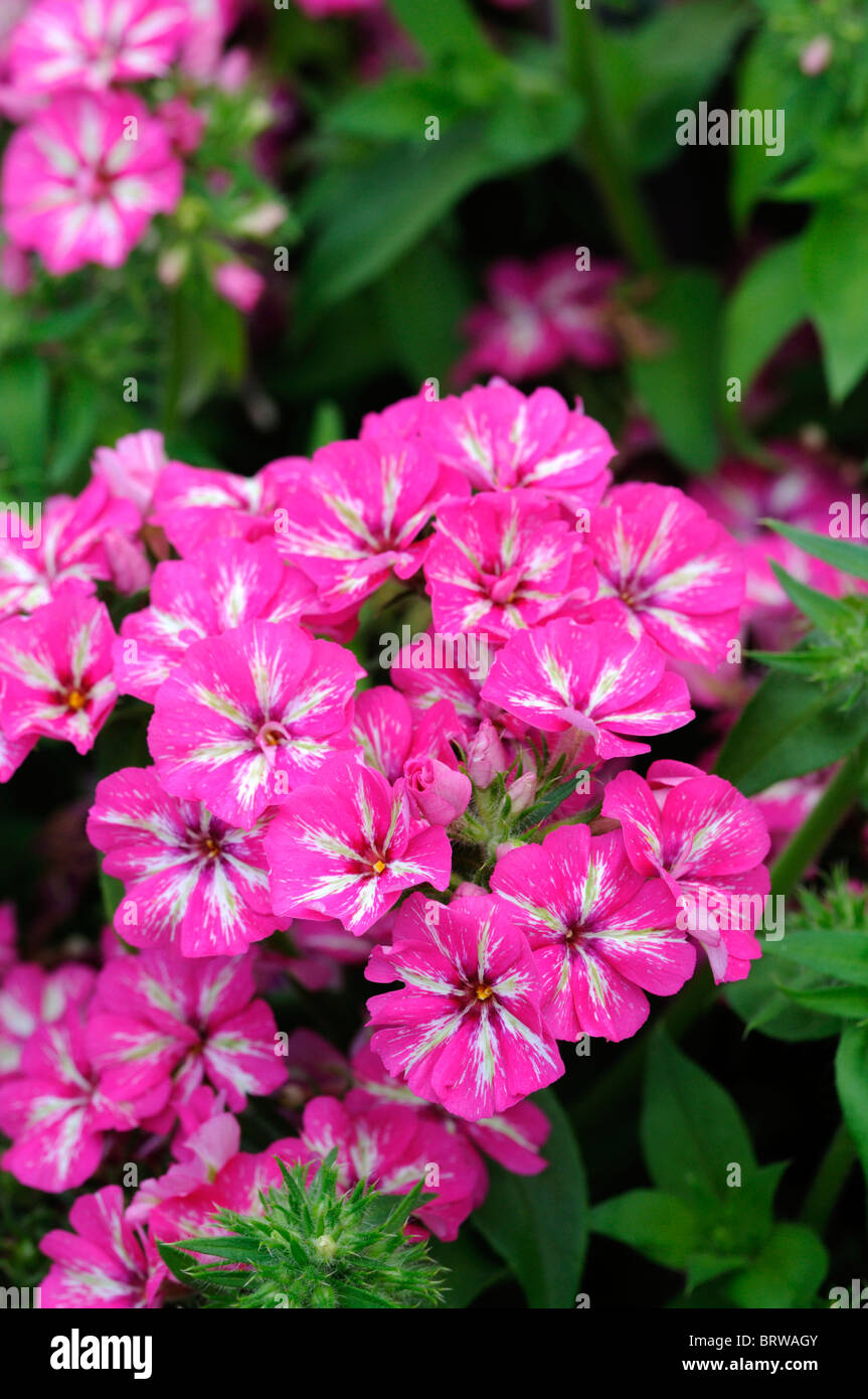 Phlox drummondii grammy pink white flower closeup close up macro phlox drummondii grammy pink white flower closeup close up macro bloom blossom annual bedding container plant mightylinksfo