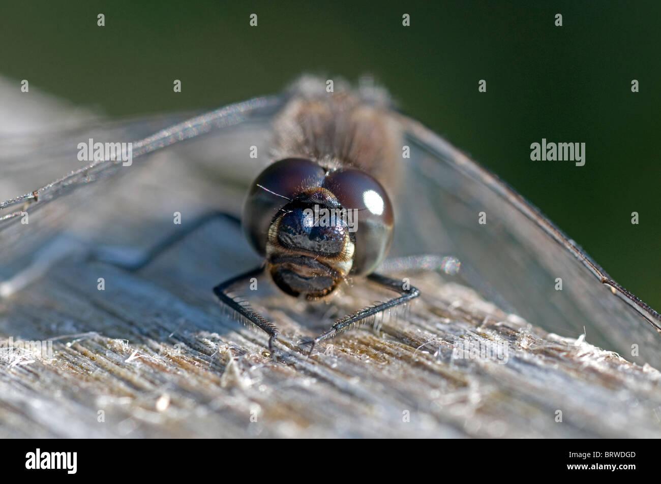 Black Darter Dragonfly Sunning on a park bench.  SCO 6836 Stock Photo