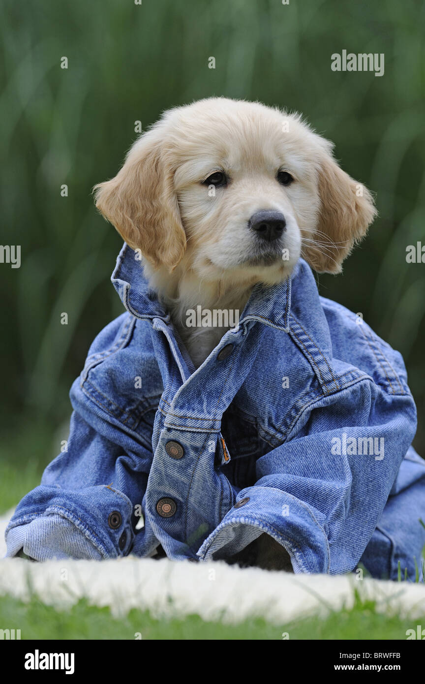Golden Retriever (Canis lupus familiaris), puppy sitting in a jeans jacket. - Stock Image