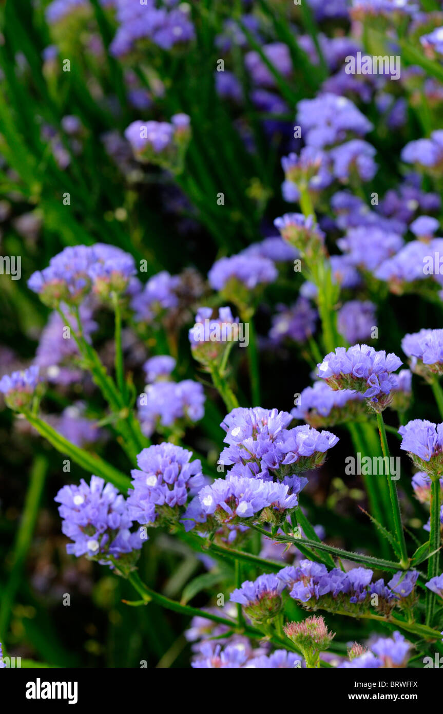 Statice sinuata Sunburst pale blue Limonium flowers bloom blossom annual Sea Lavender Statice Marsh-rosemary  distinctive - Stock Image