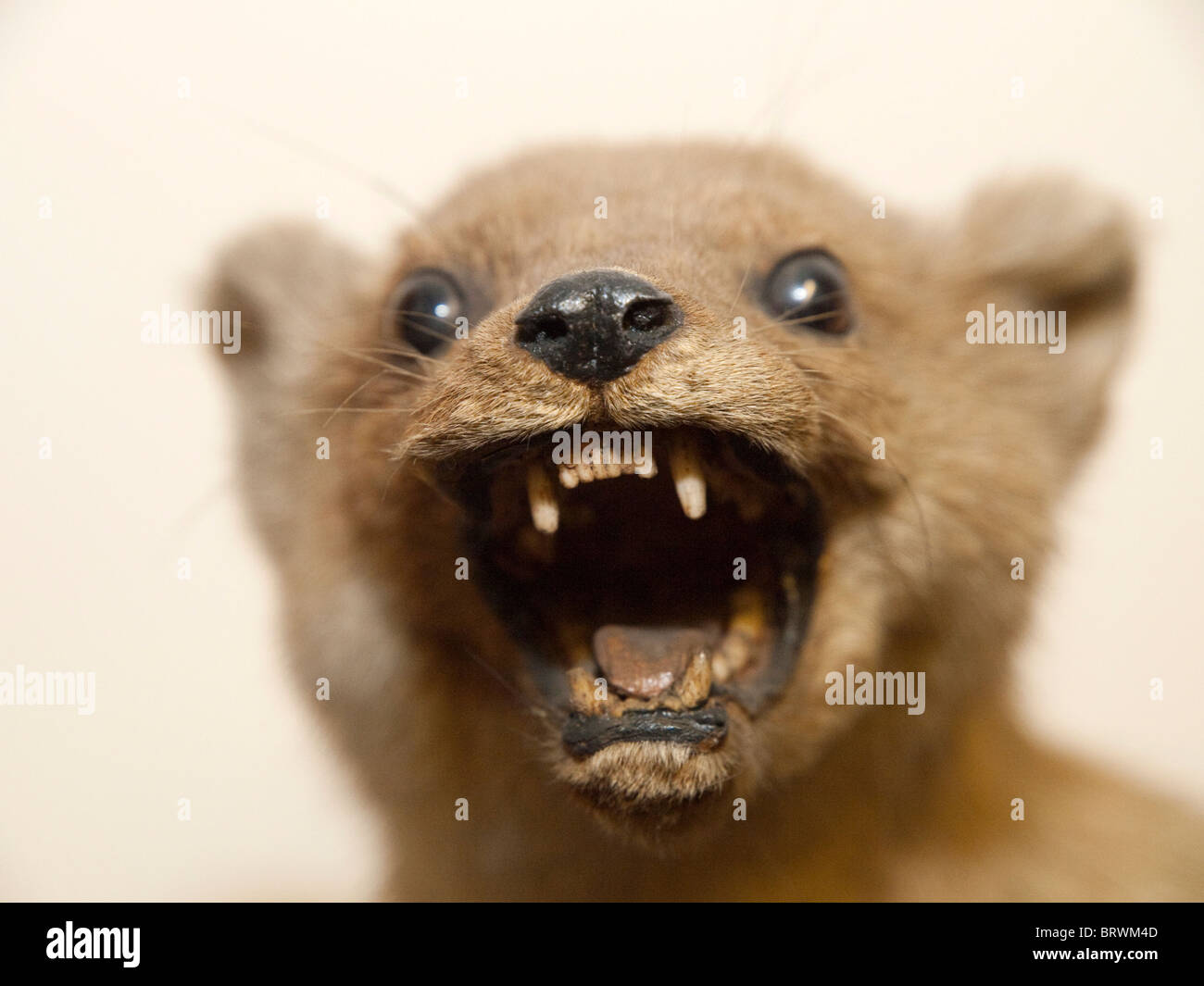 a stuffed animal taxidermy stock photo 31912061 alamy