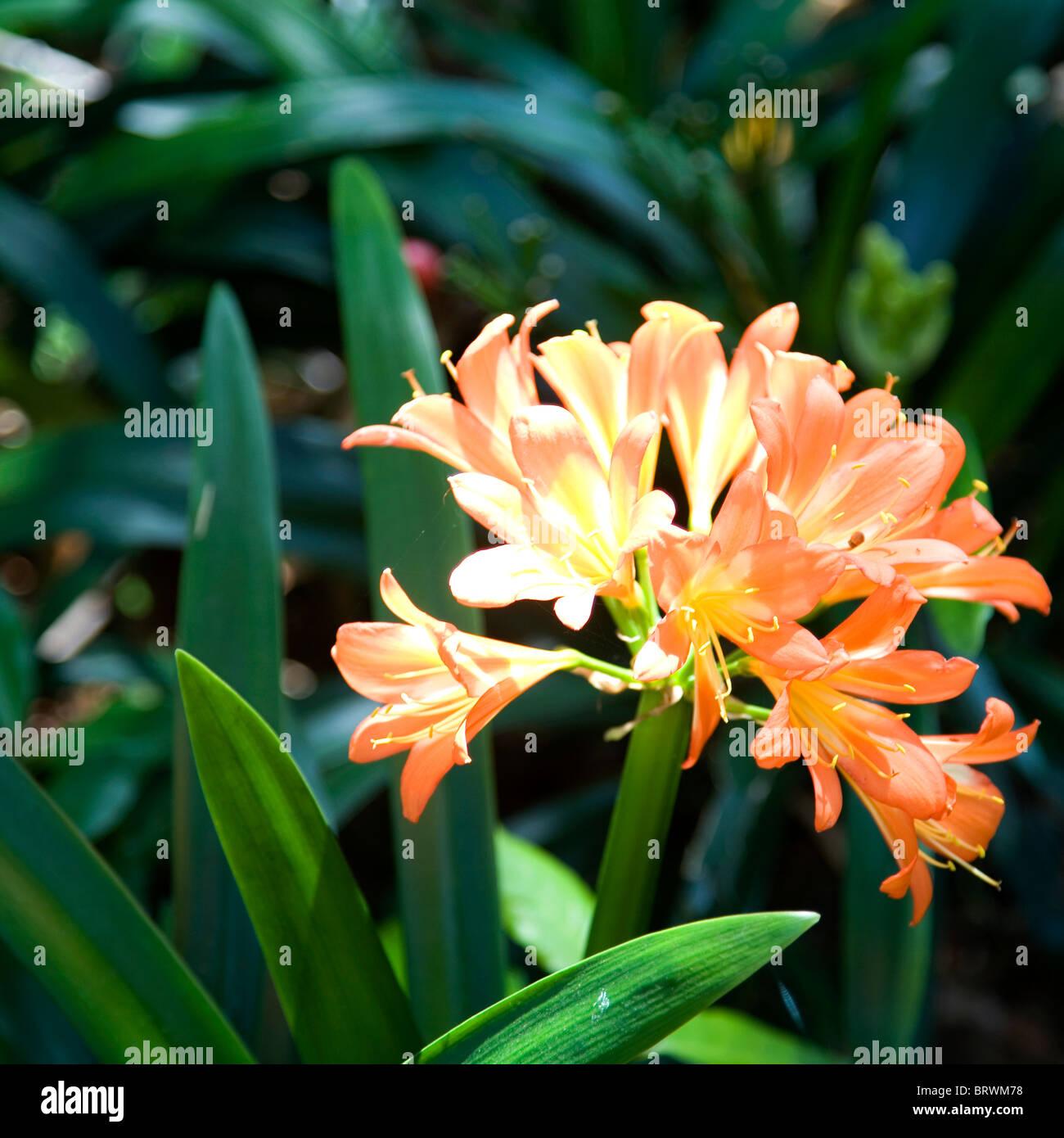 Agapanthus Orange Flowers