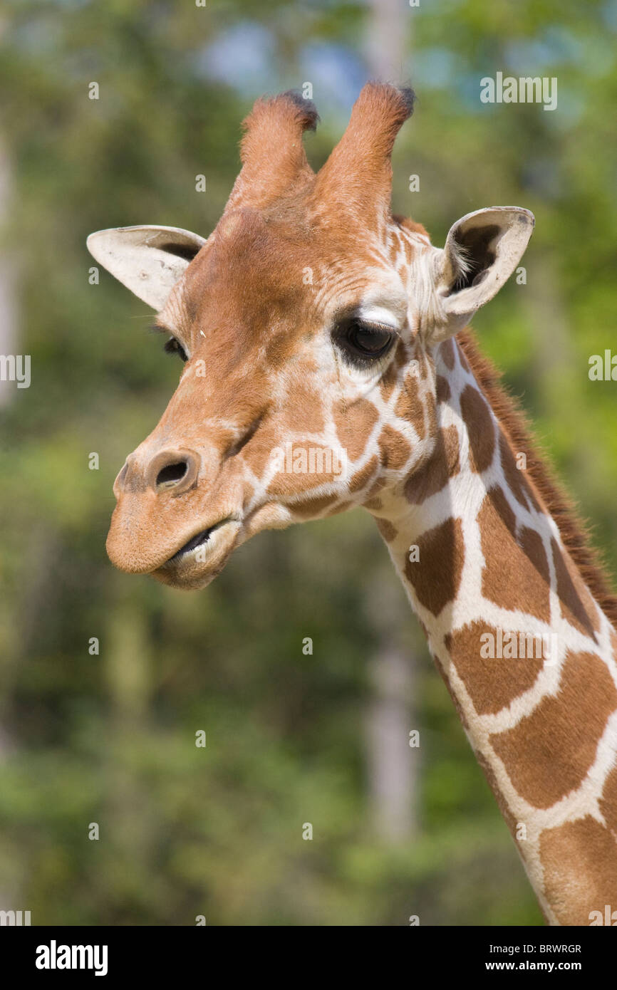 Giraffe Mammal Wildlife Herbivorous 'Safari Animals' 'Animal Head' 'Animal Neck' 'Long - Stock Image