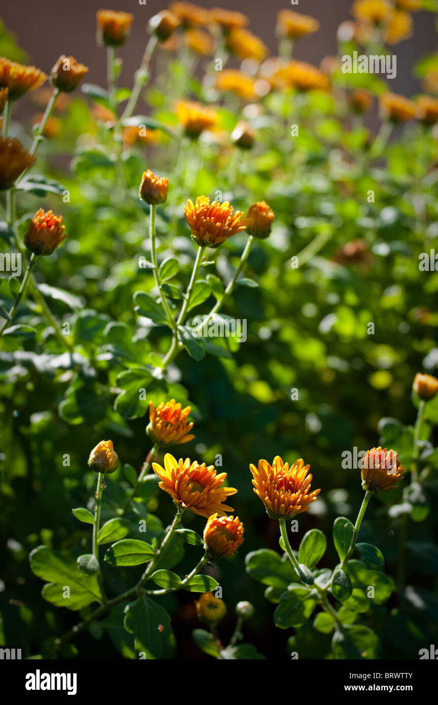Little yellow flowers stock photos little yellow flowers stock bunch of little yellow daisy flowers stock image mightylinksfo