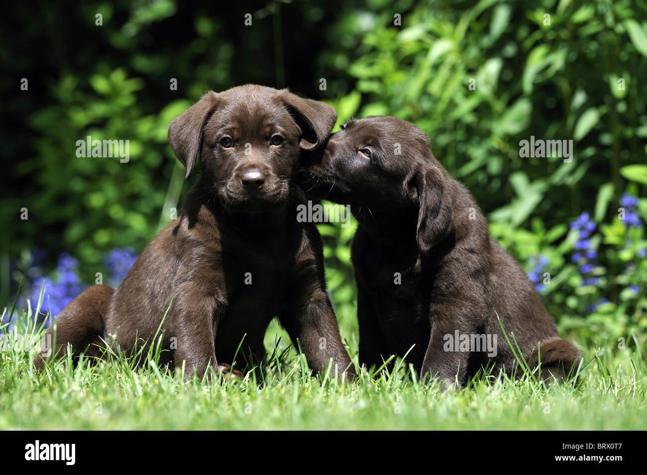 Labrador Retriever, Chocolate Labrador (Canis lupus familiaris), two puppies sitting in a garden. - Stock Image