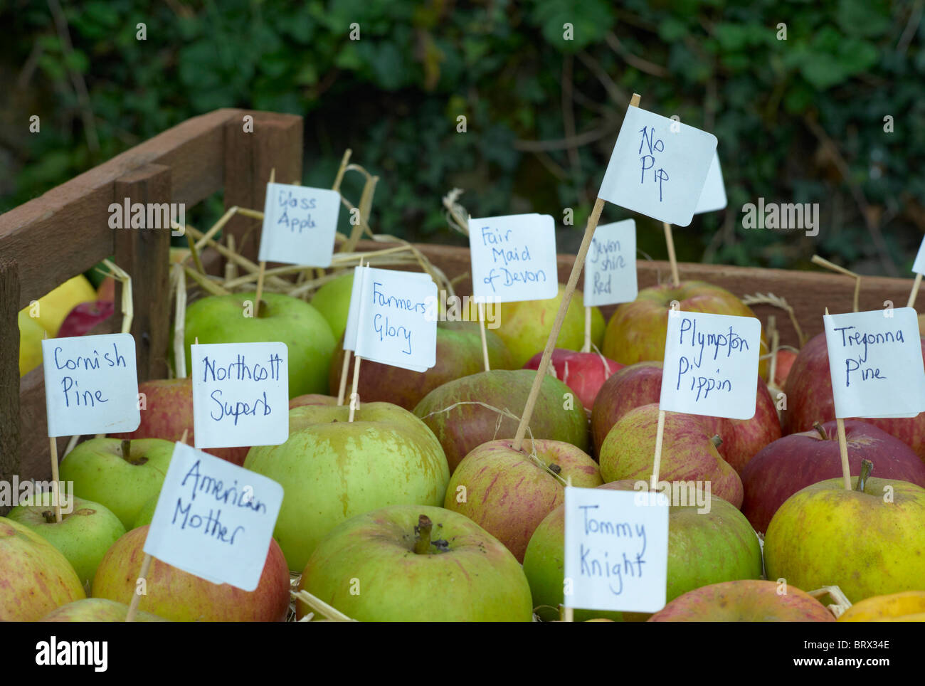 Labeled varieties of apples in a box show the diversity of apples grown in the UK - Stock Image