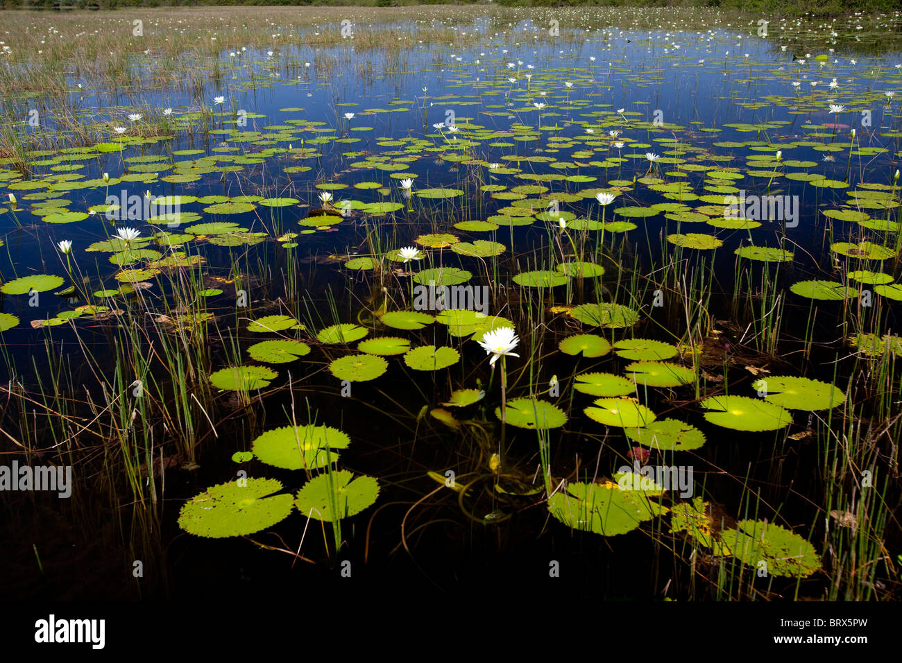 Lily pads line a mangrove in Belize. - Stock Image