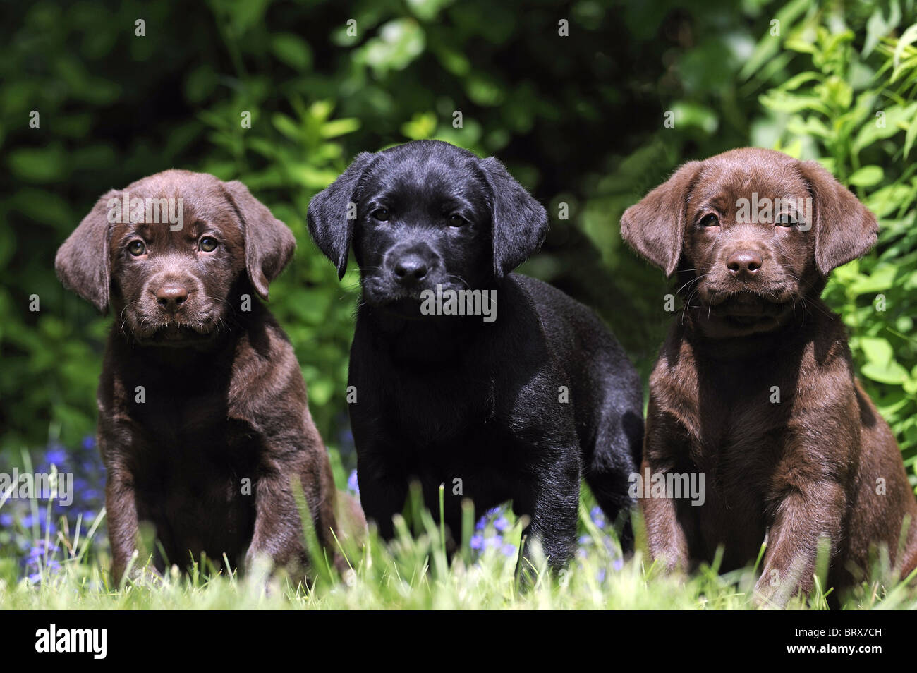 Labrador Retriever, Chocolate Labrador (Canis lupus familiaris), two brown and a black puppy sitting in a garden. - Stock Image