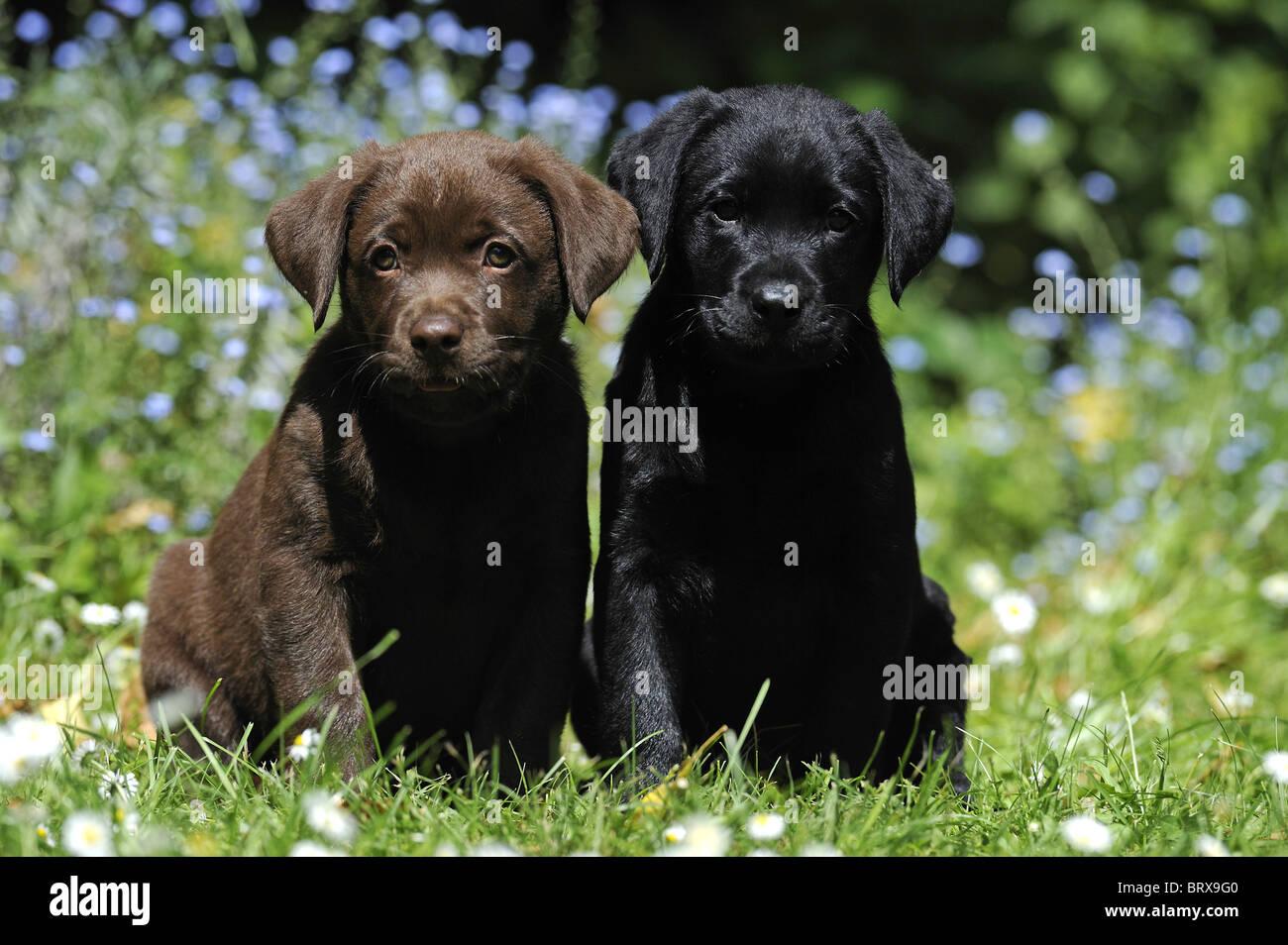 Labrador Retriever, Chocolate Labrador (Canis lupus familiaris). A brown and a black puppy sitting in a garden. - Stock Image