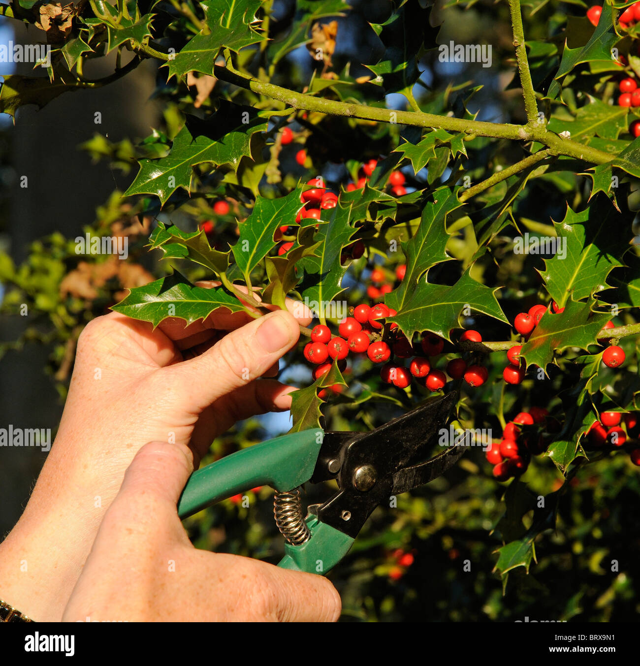 Christmas Holly Tree.Cutting Red Berries On A Holly Tree Branch For Christmas