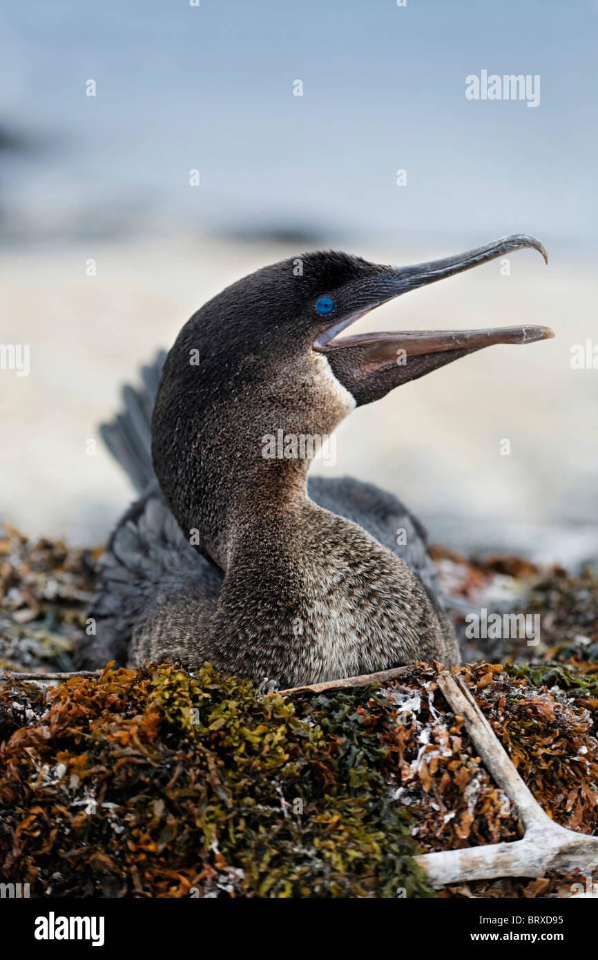 Flightless cormorant (Phalacrocorax harrisi), breeding on nest, Fernandina, Punta Espinosa, island, Galapagos archipelago - Stock Image