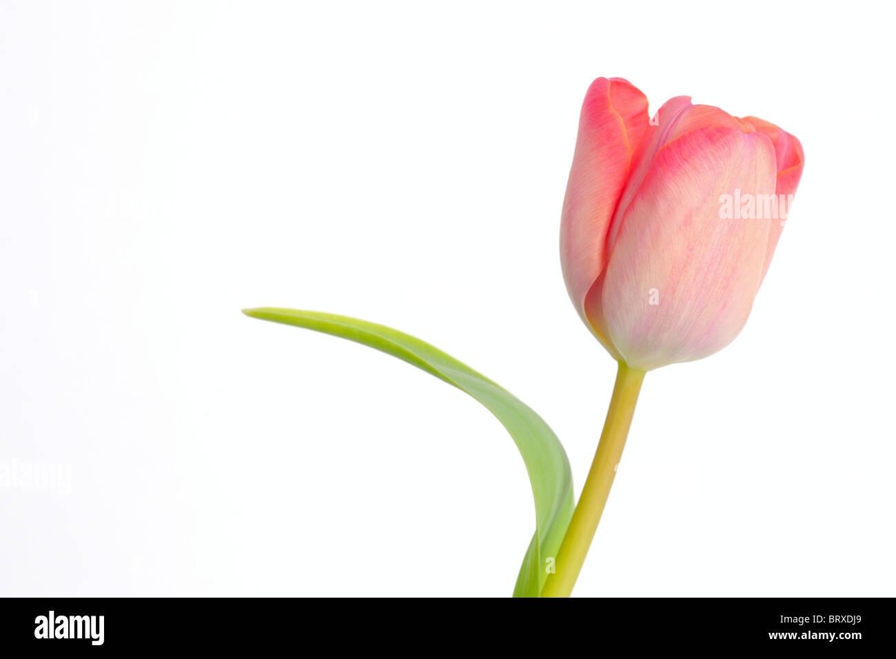 Tulip (Tulipa) - Stock Image