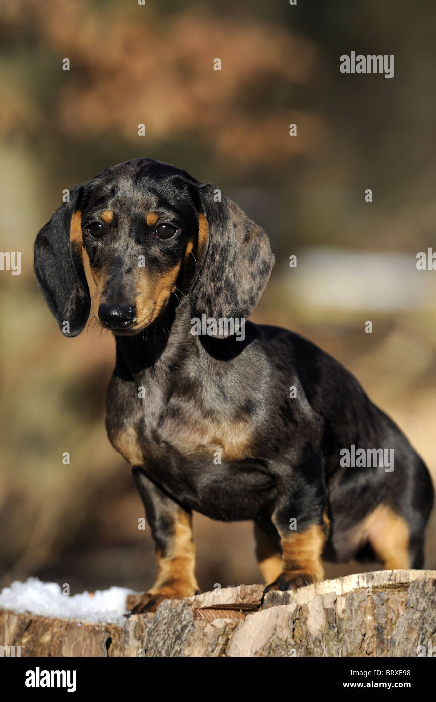 Short-haired Dachshund (Canis lupus familiaris). Young individual standing on a snowy tree stump. - Stock Image