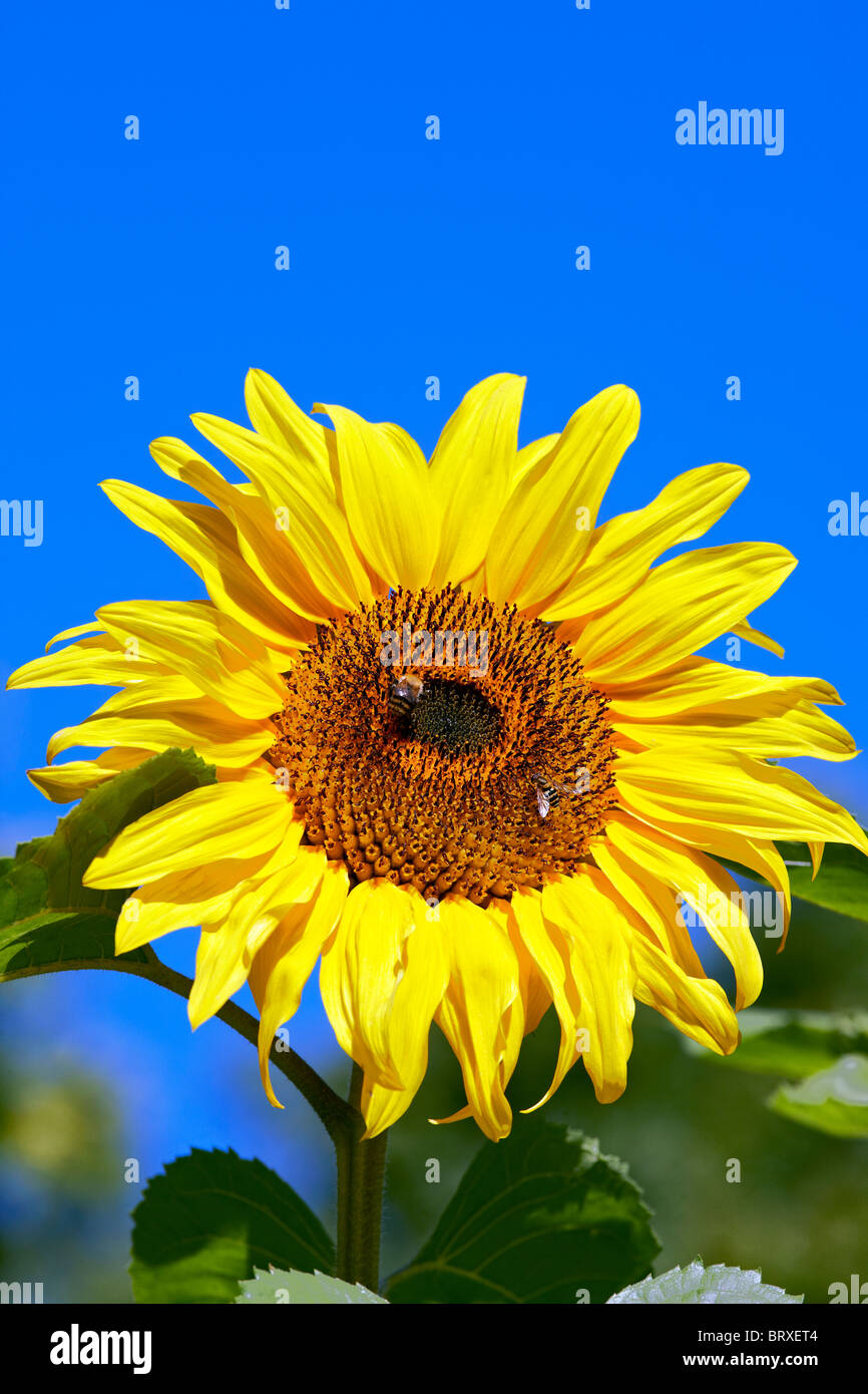 Sunflower - Helianthus annus 'American Giant' - with bee & hoverfly - Stock Image