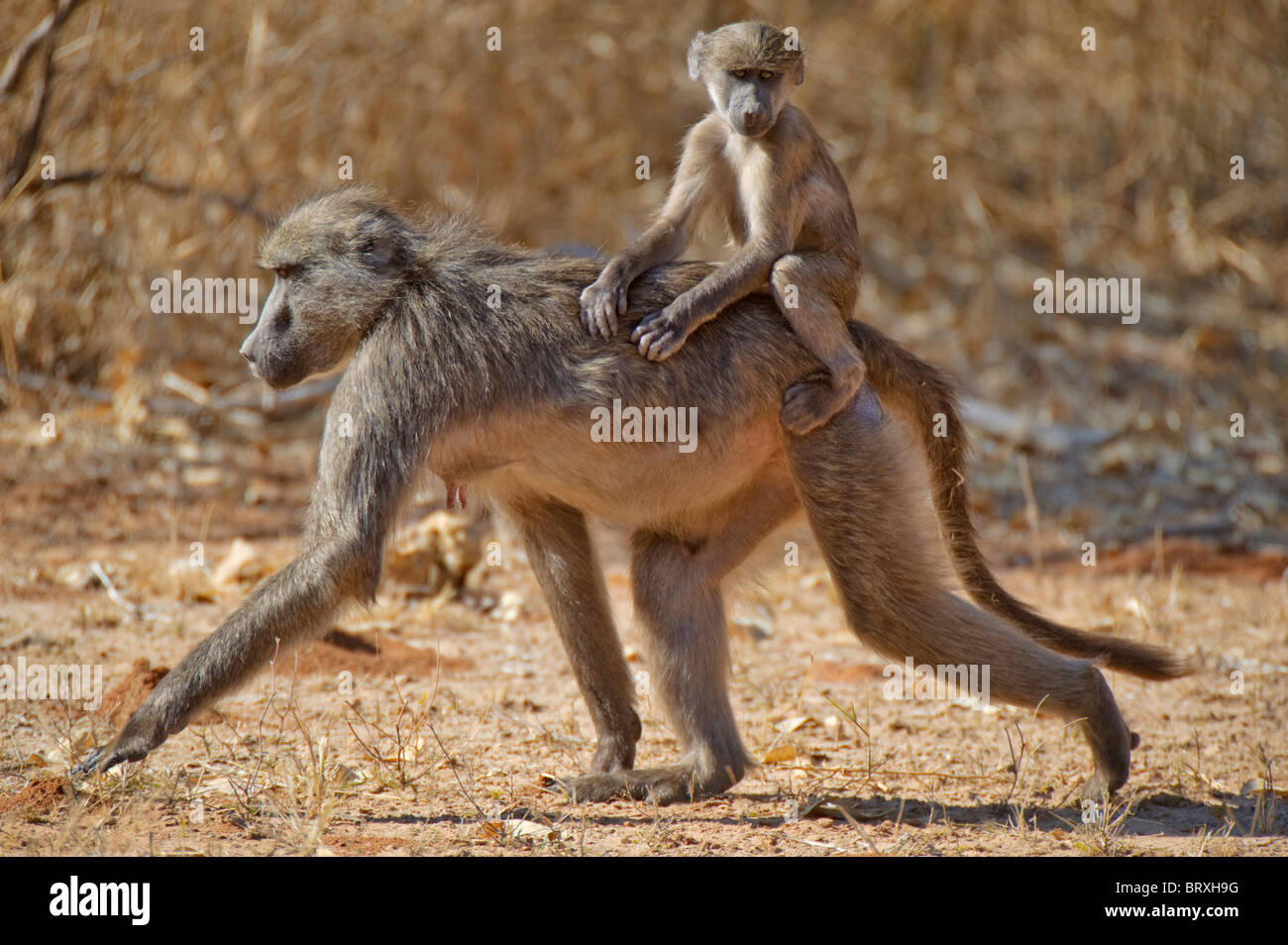 Chacma Baboon or Cape Baboon (Papio ursinus), with young, Mahango Game Reserve, Namibia, Africa - Stock Image