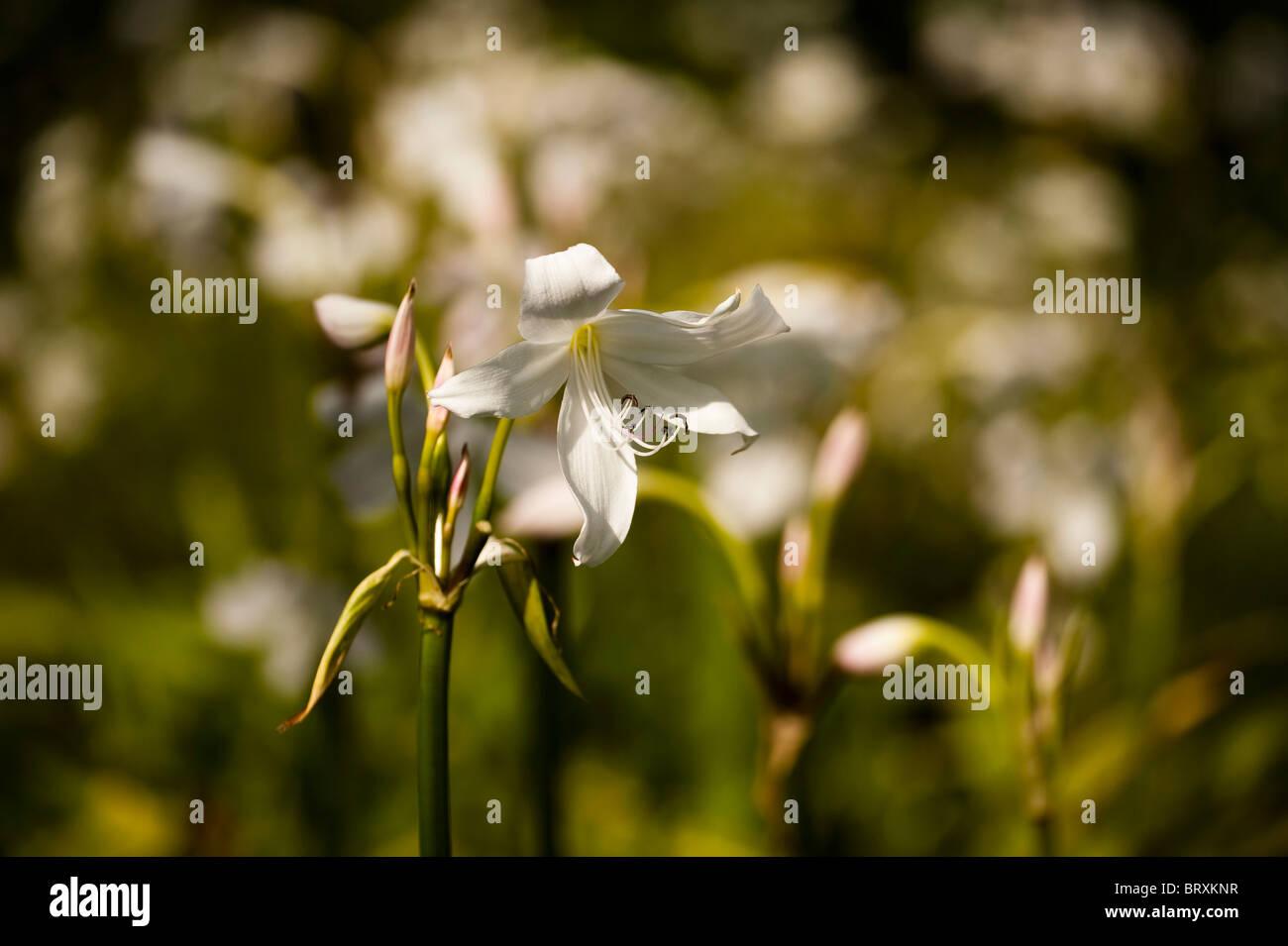 White Powell Lily, Crinum x powellii 'Album' Stock Photo