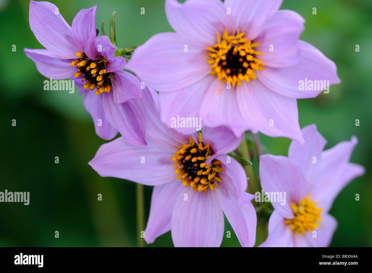 Dahlia Merckii Single Pink Lilac Lilac Flowers Species Variety Type