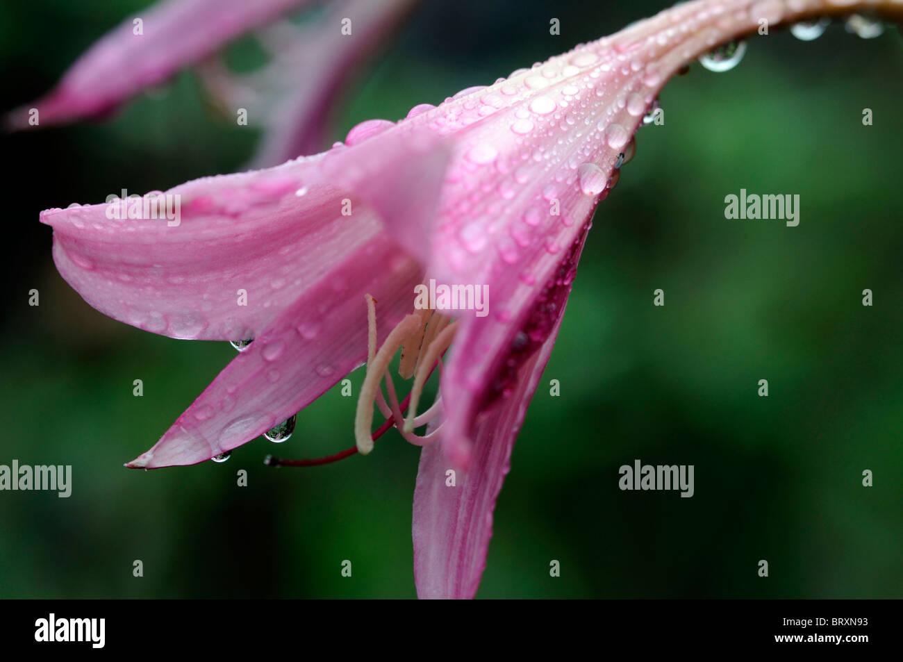 Crinum x powellii Roseum lily flower pink bloom blossom tender late summer bulb perennial Stock Photo
