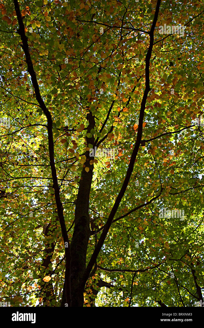 Autumn beech leaves changing colour Forest of Dean England UK - Stock Image